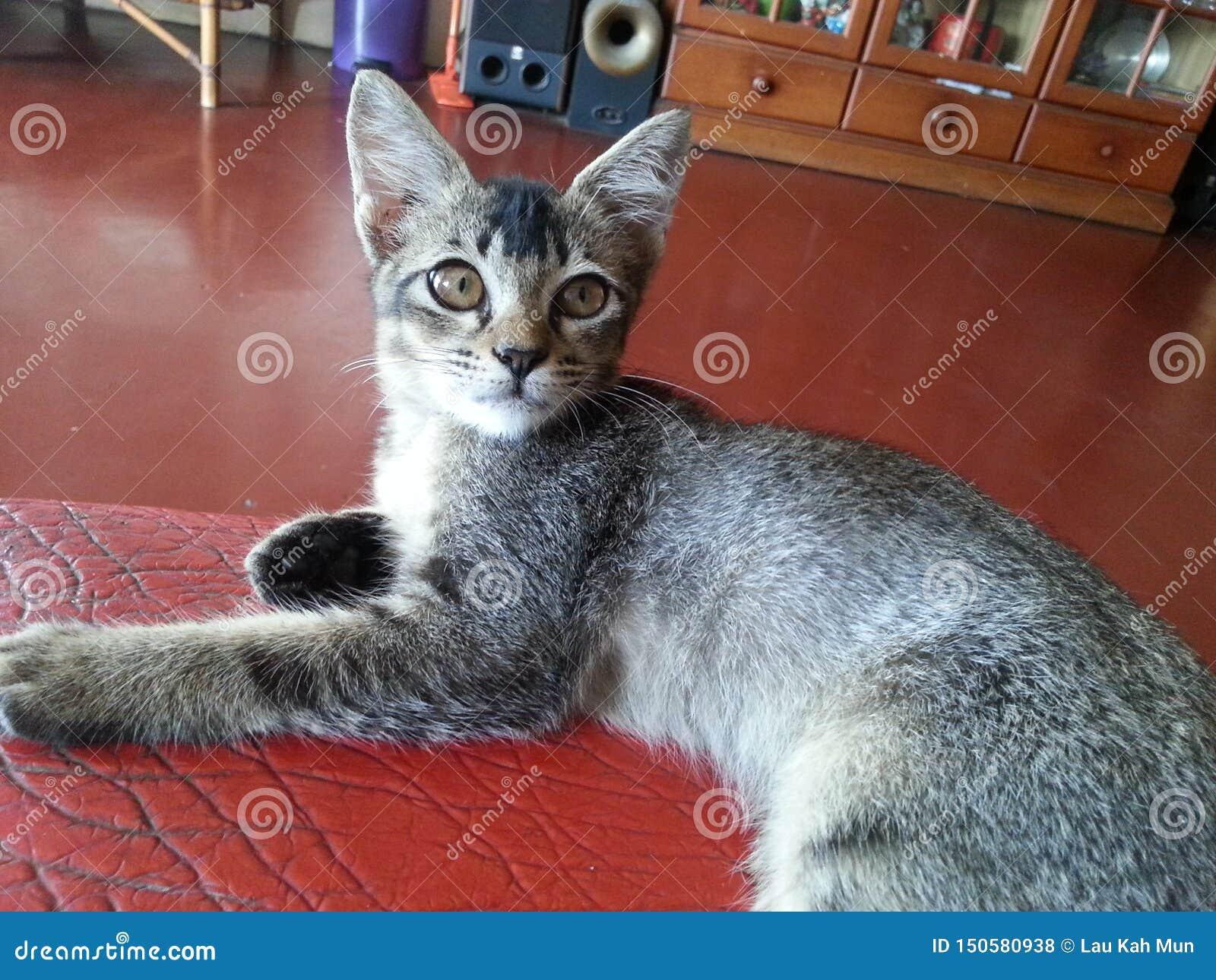 Οκνηρός να πιάσει τη γάτα ποντικιών