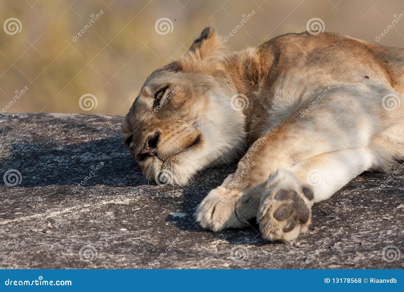 οκνηρό λιοντάρι