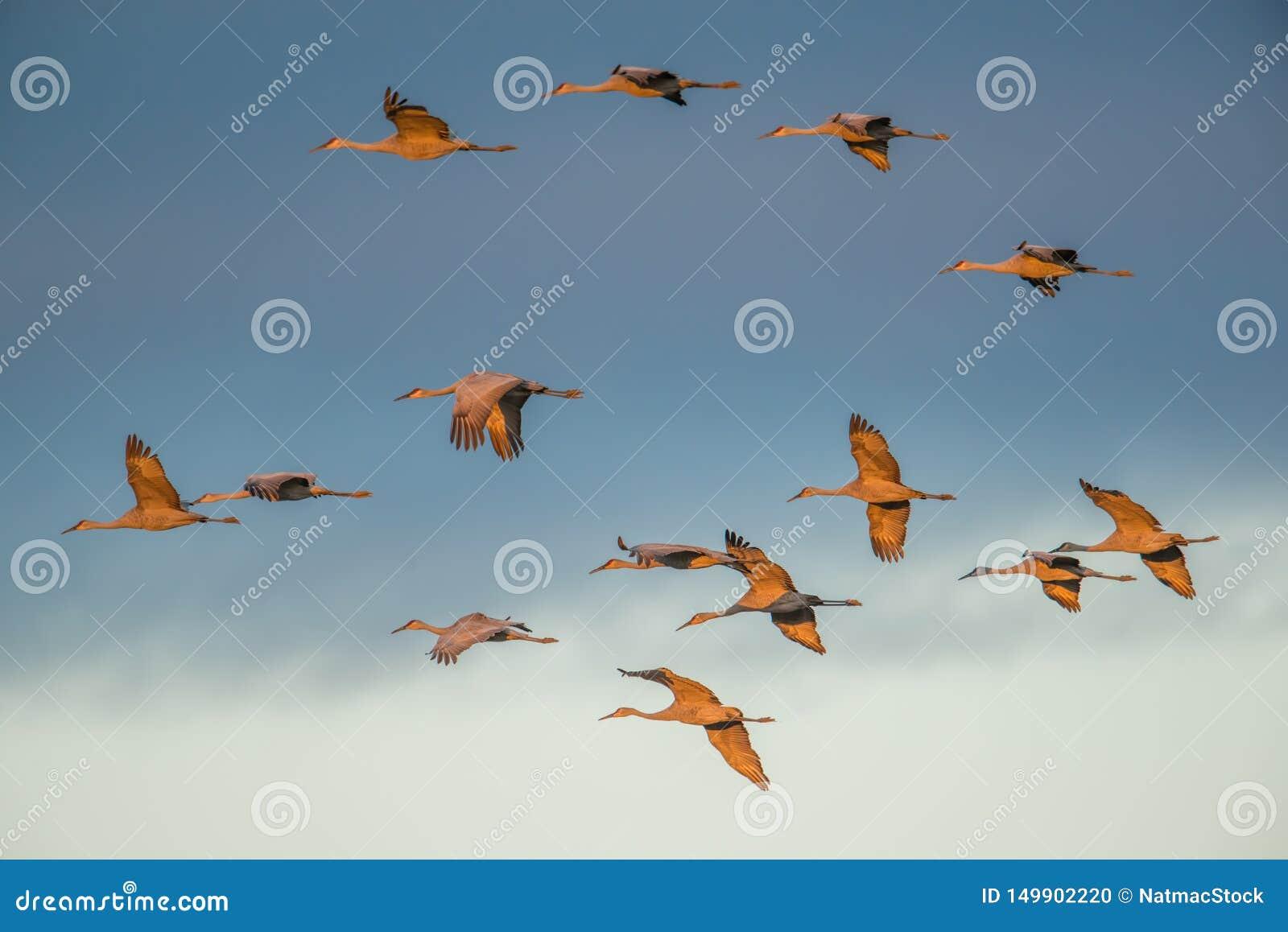 """Ομάδα γερανών sandhill κατά την πτήση στο σούρουπο/το ηλιοβασίλεμα """"χρυσής ώρας """"πρίν προσγειώνεται στη φωλιά για τη νύχτα κατά τ"""