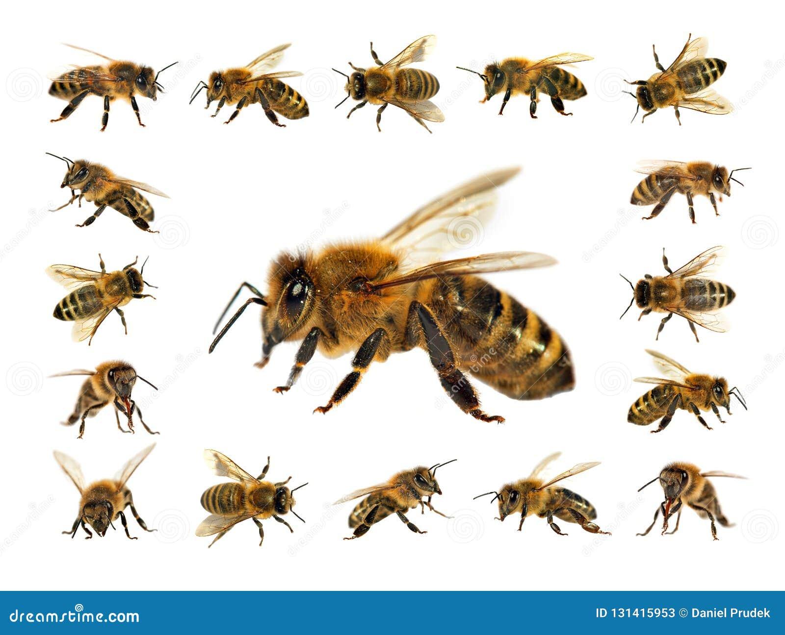 Ομάδα μέλισσας ή μέλισσας στις λατινικές μέλισσες μελιού Apis Mellifera, ευρωπαϊκά ή δυτικά που απομονώνονται στο άσπρο υπόβαθρο,