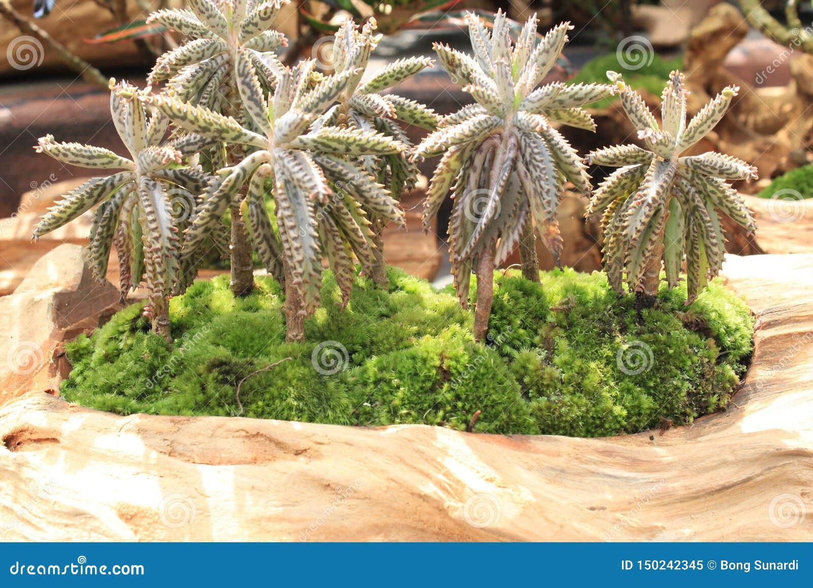Ομάδα μικροσκοπικού δέντρου καρύδων