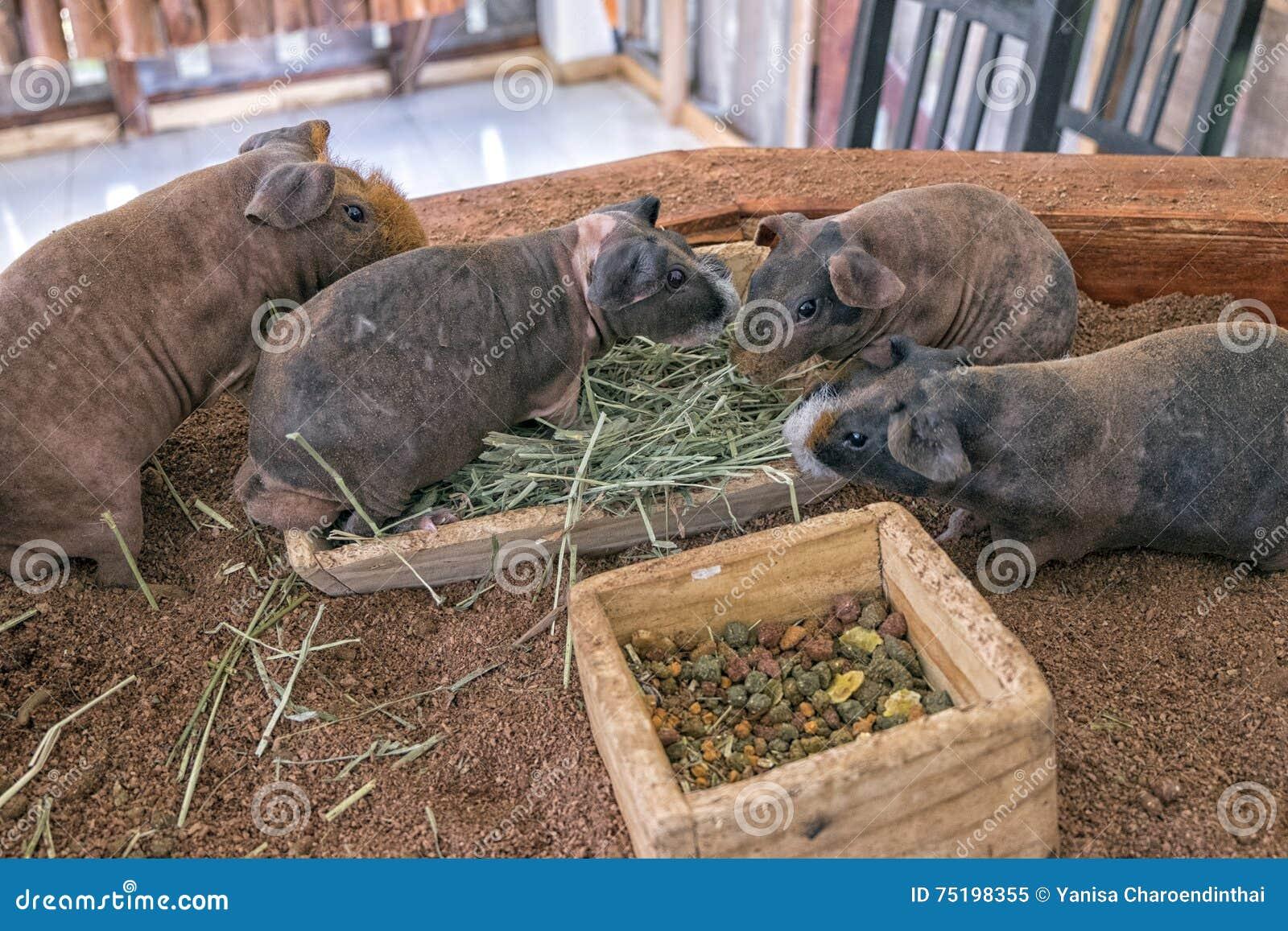 Ομάδα αποκαλούμενου ινδικό χοιρίδιο μεμβρανοειδούς χοίρου που τρώει τη χλόη