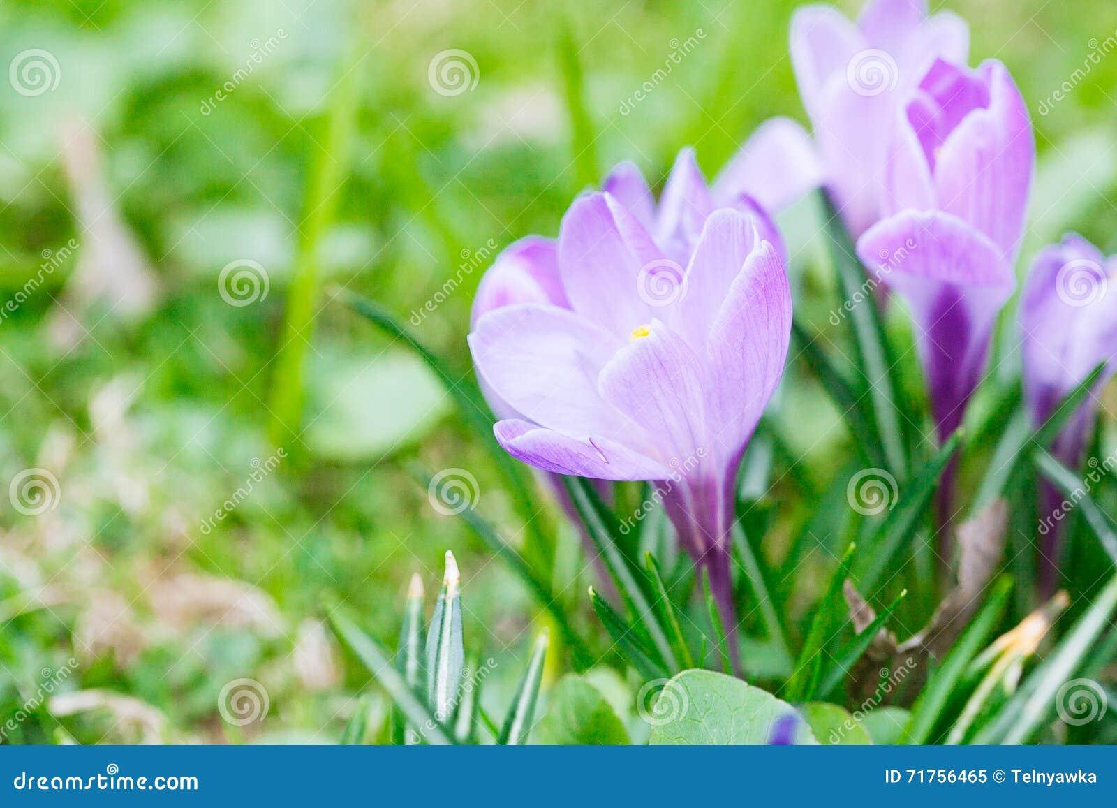 Ομάδα πορφυρού κρόκου (κρόκος sativus) με το εκλεκτικό/μαλακό focu
