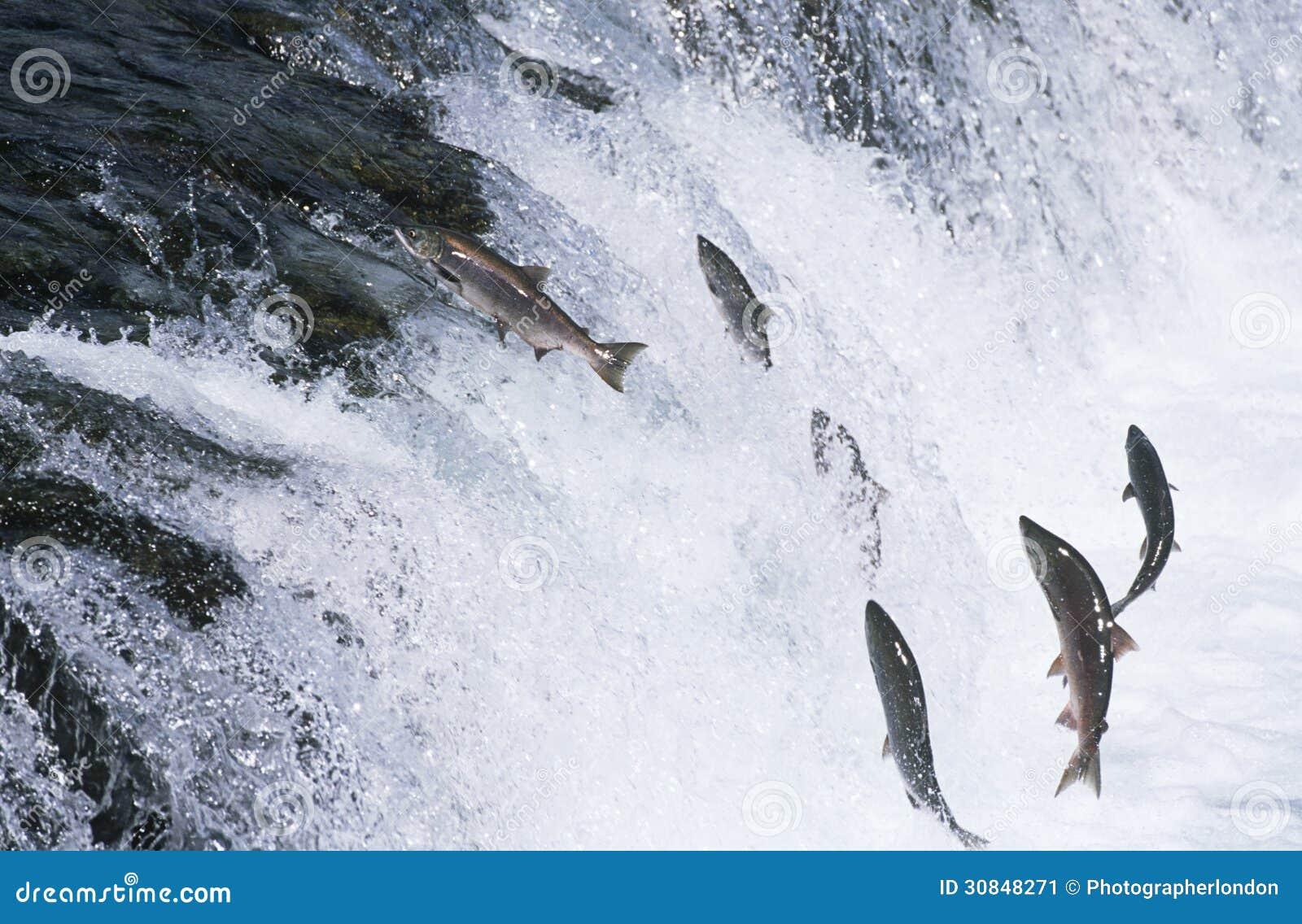 Ομάδα σολομού που πηδά προς τα πάνω στον ποταμό