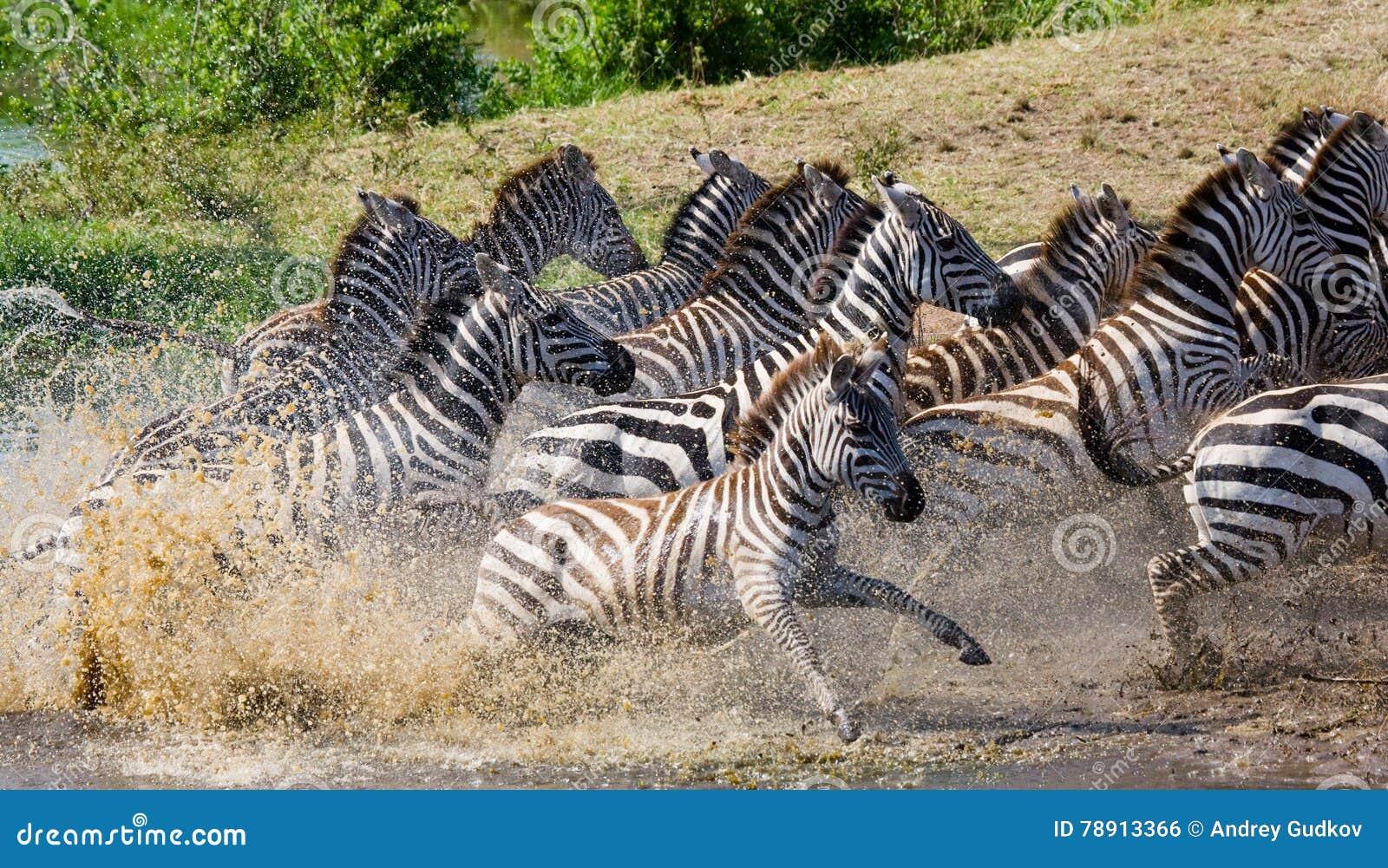 Ομάδα zebras που τρέχει πέρα από το νερό Κένυα Τανζανία Εθνικό πάρκο serengeti Maasai Mara
