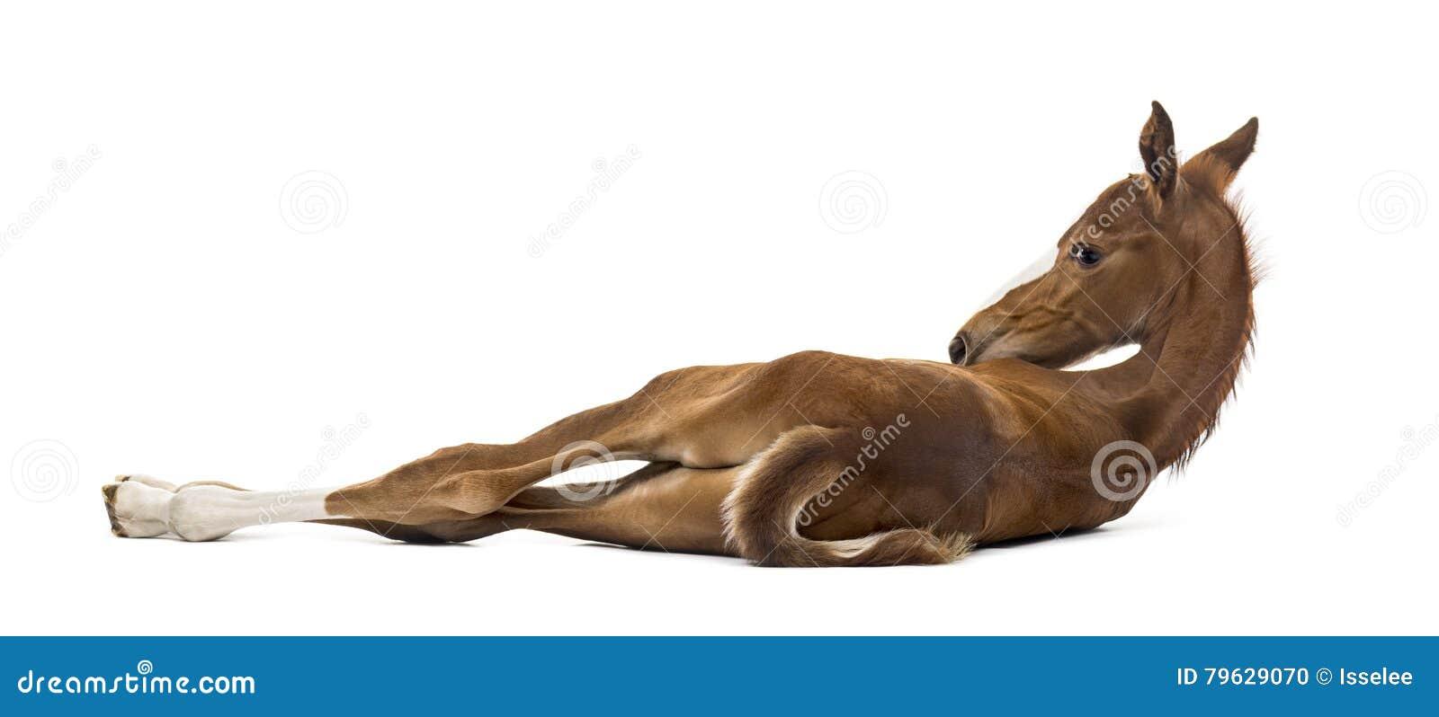 Οπισθοσκόπος foal που βρίσκεται στην πλευρά