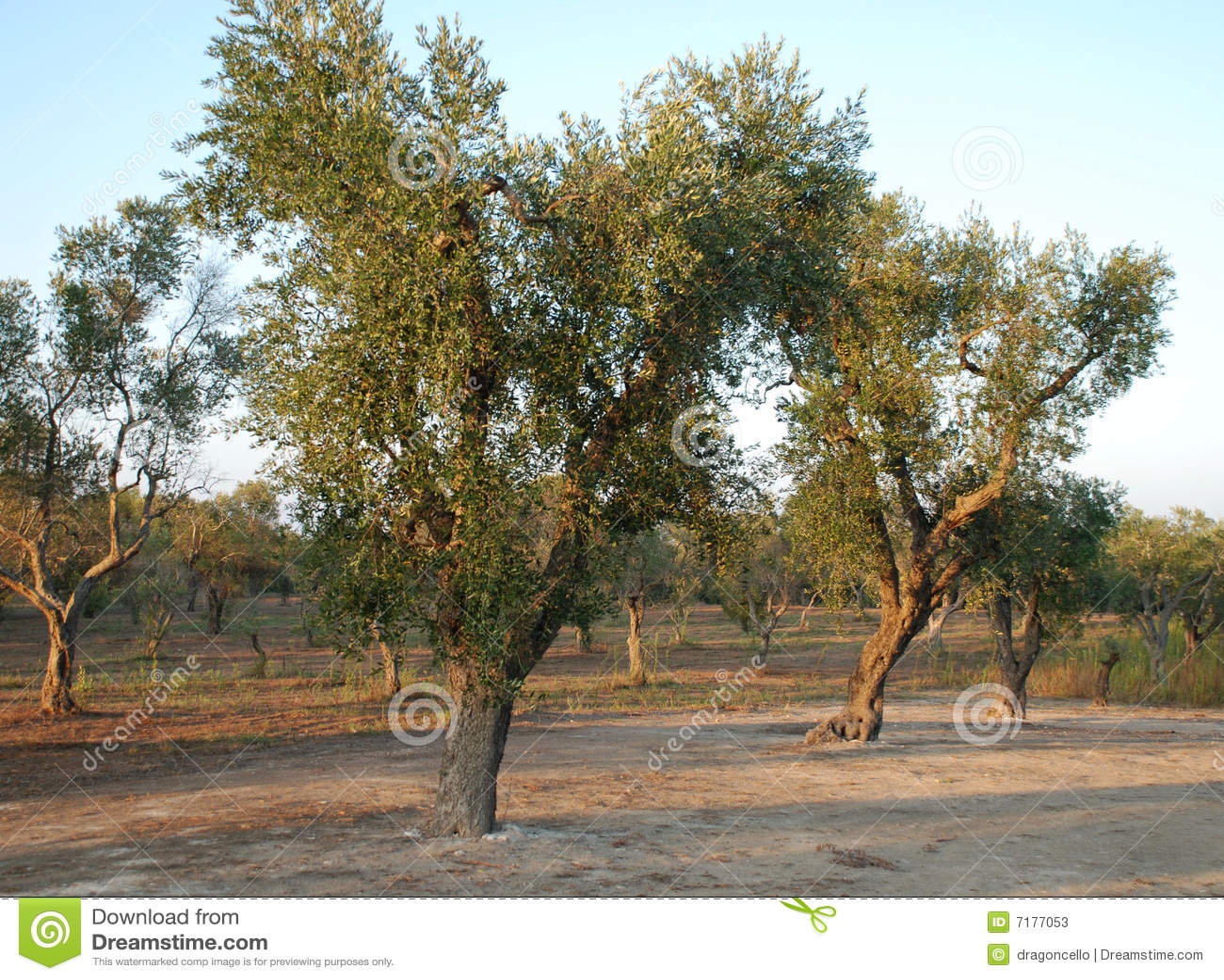 οπωρώνας ελιών της Ιταλίας νότιος