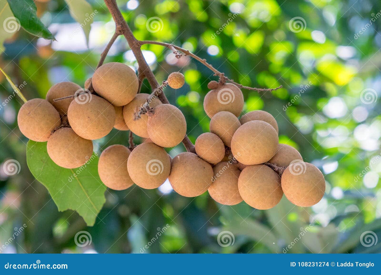 Οπωρώνες Longan - τροπικός νέος longan φρούτων στην Ταϊλάνδη