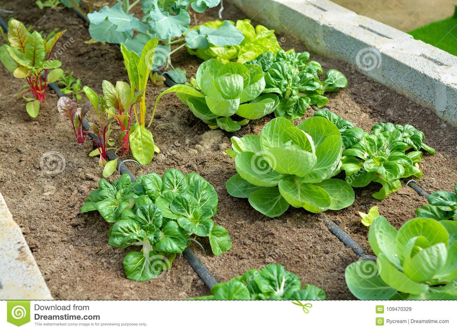Οργανικός φυτικός κήπος με την άρδευση σταλαγματιάς