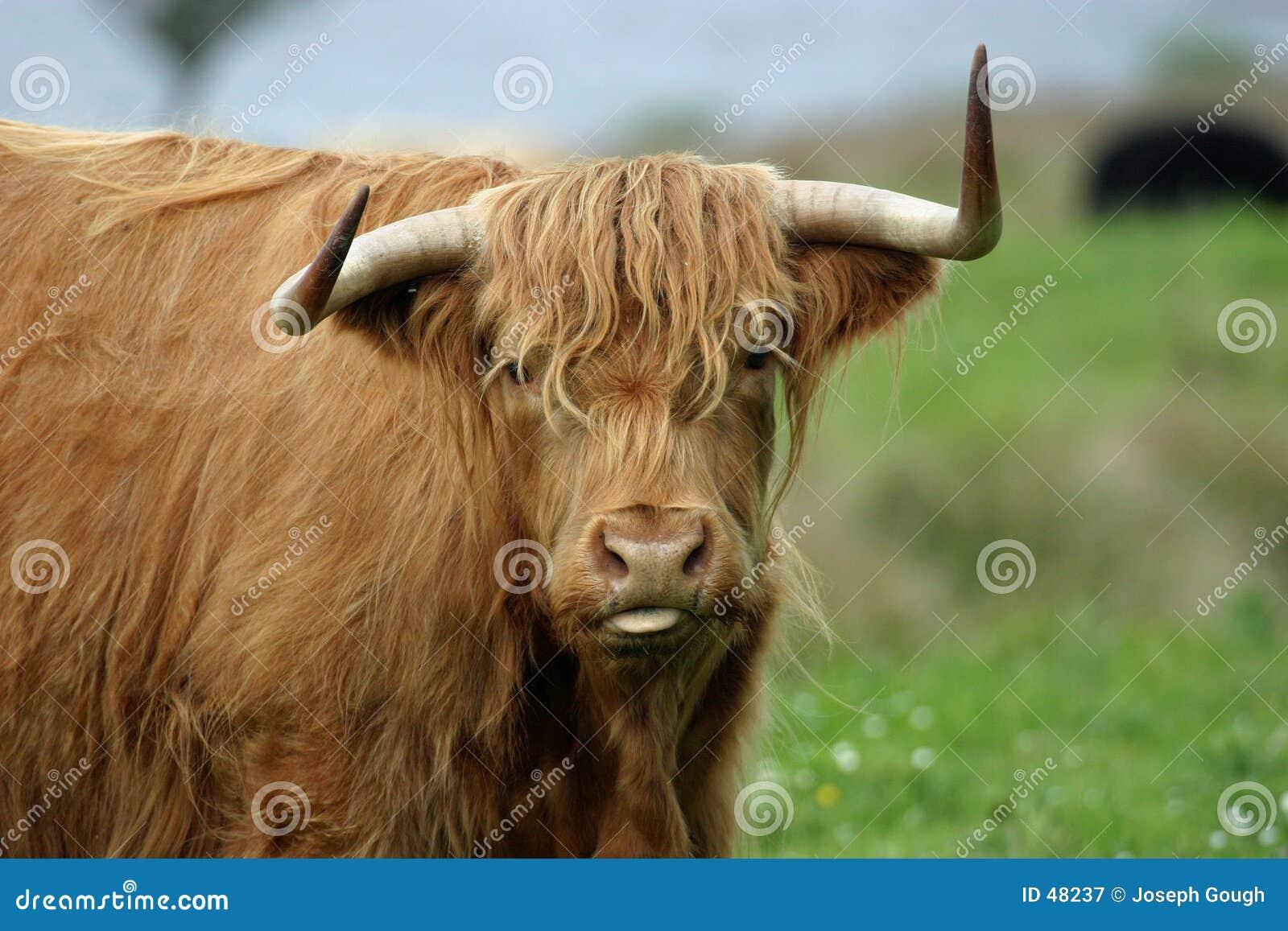 ορεινή περιοχή αγελάδων