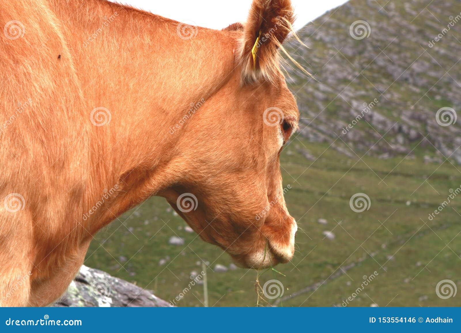 Ορεινή περιοχή Grazer, κόκκινη αγελάδα σε μια ρύθμιση ορεινών περιοχών