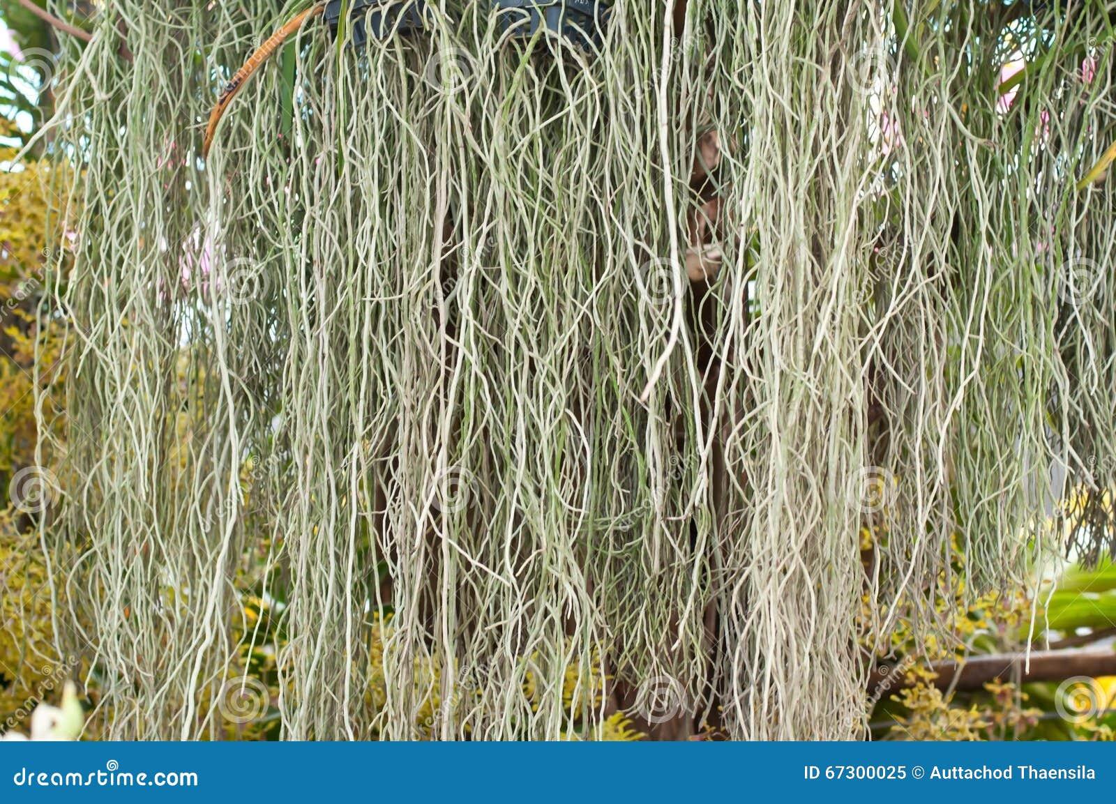 Ορχιδέα Rootage