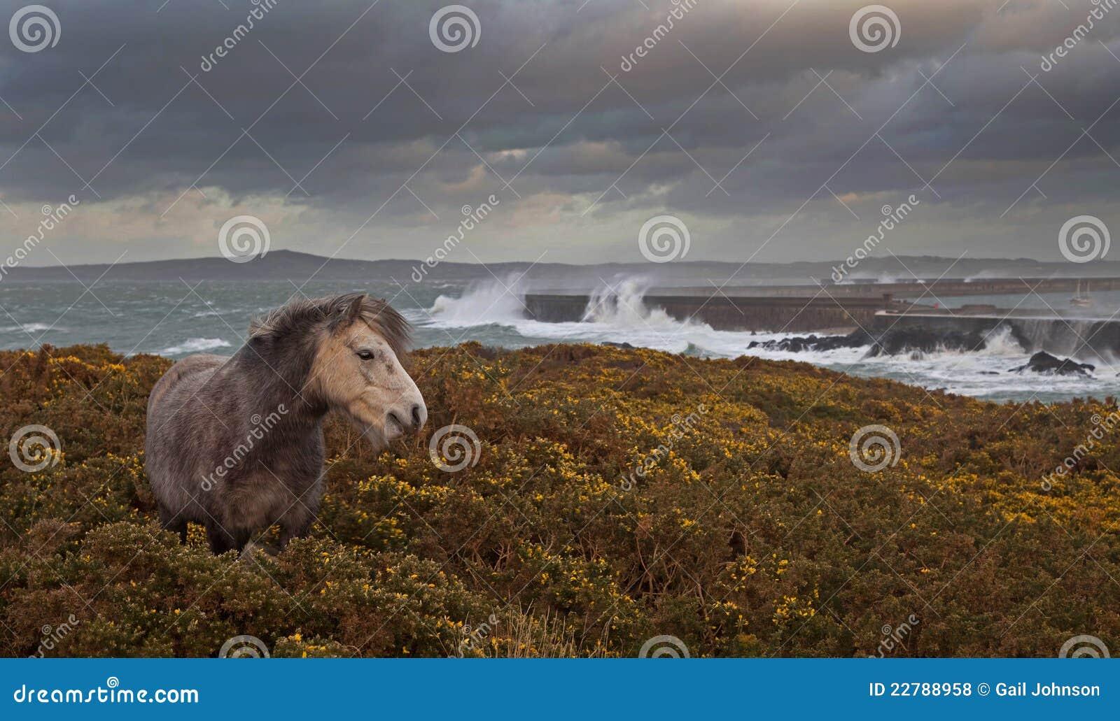 ουαλλέζικες άγρια περιοχές πόνι