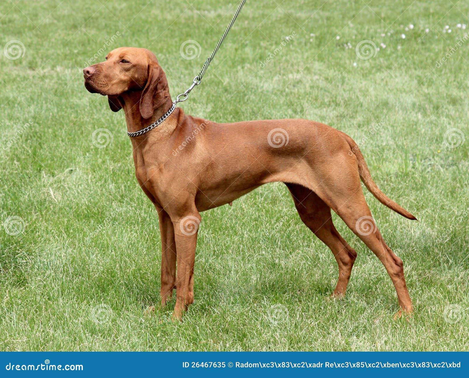 Ουγγρικό με κοντά μαλλιά σκυλί υπόδειξης