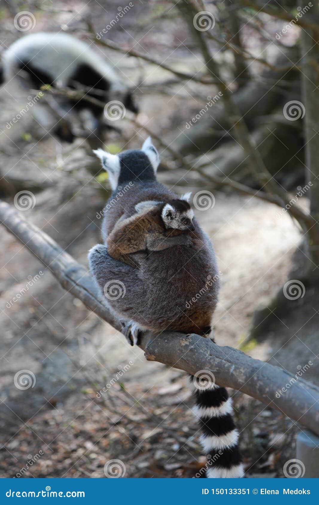 Ουρά-παρακολουθημένος μούμια κερκοπίθηκος με χαριτωμένο λίγο μωρό στην πλάτη
