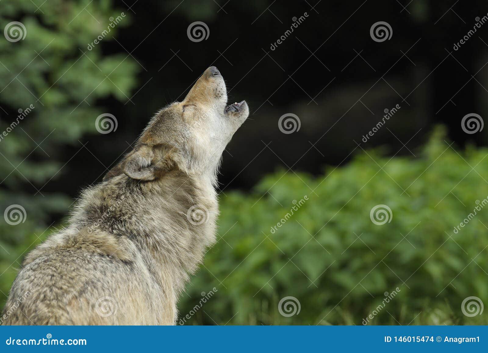 Ουρλιάζοντας γκρίζος λύκος