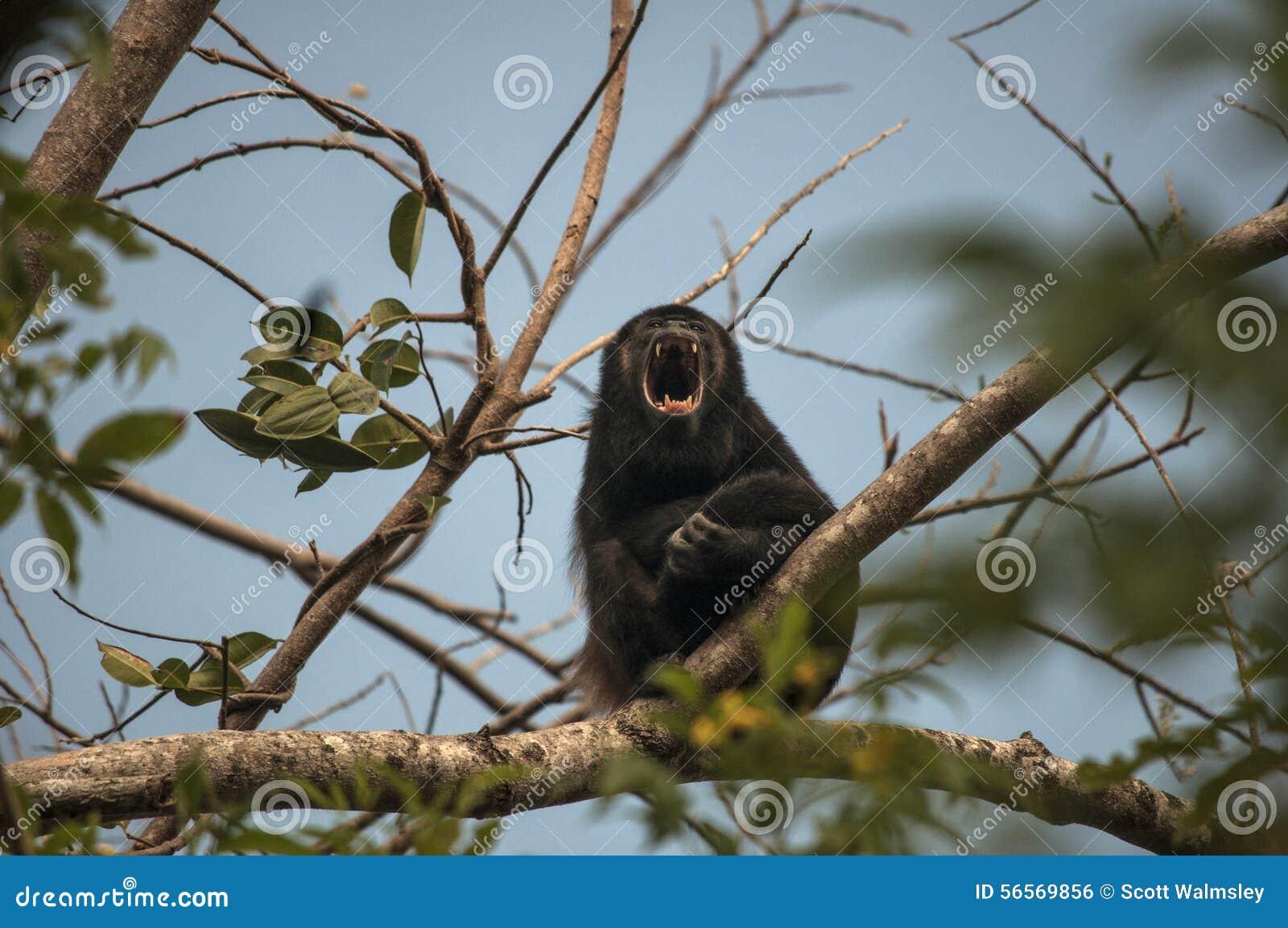 Download ουρλιαχτό στοκ εικόνες. εικόνα από ζούγκλα, πλευρά, ταξίδι - 56569856
