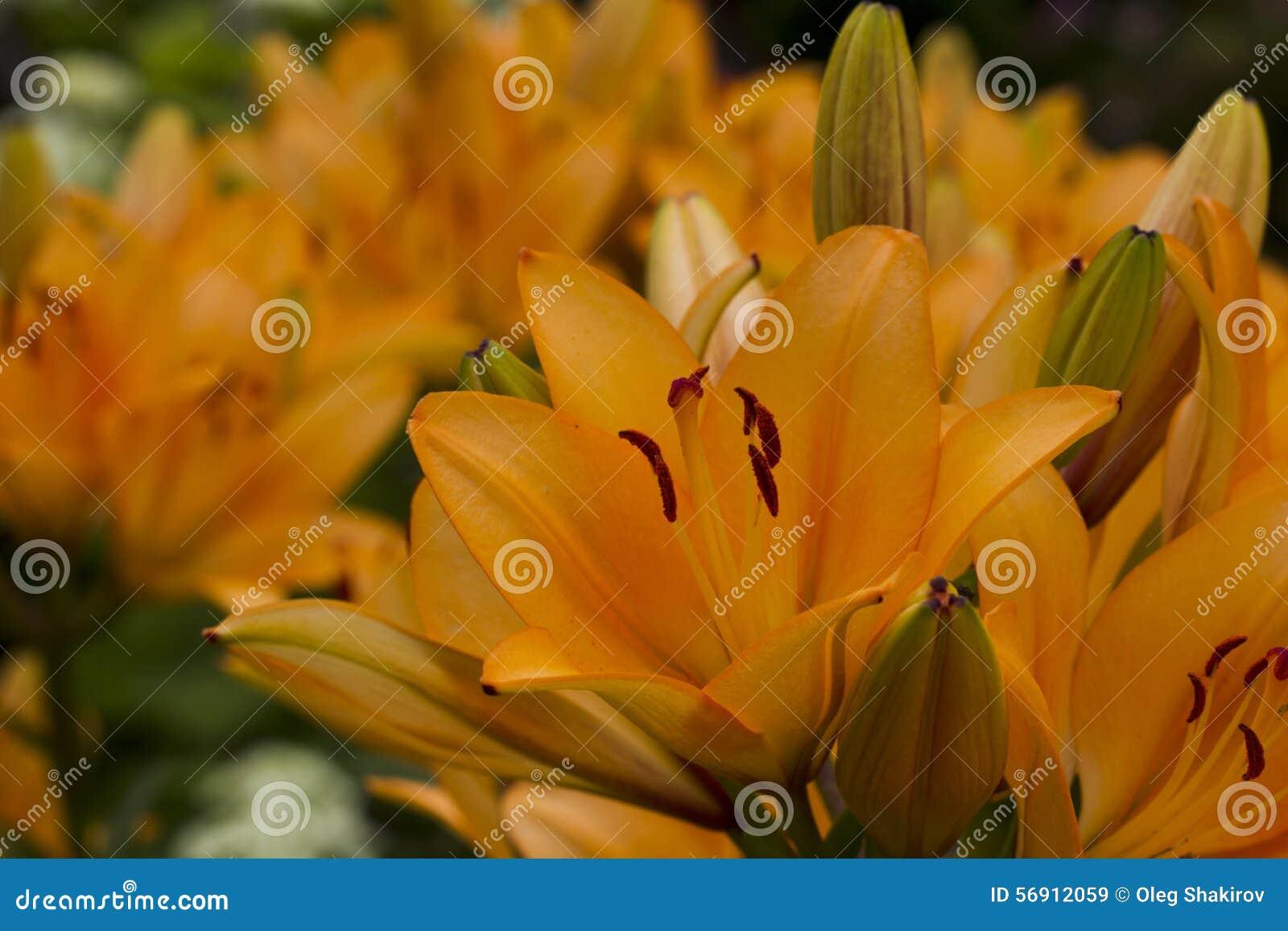 λουλούδια καρτών ανασκόπησης που χαιρετούν τον καθολικό Ιστό προτύπων σελίδων κρίνων