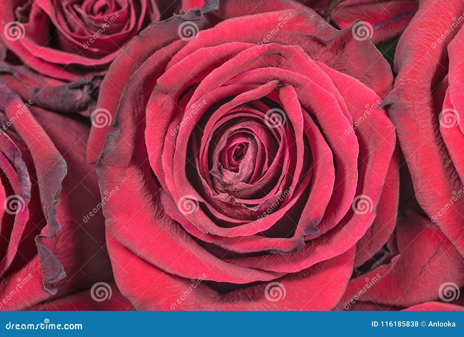 Οφθαλμοί των καταπληκτικών τριαντάφυλλων γρανατών
