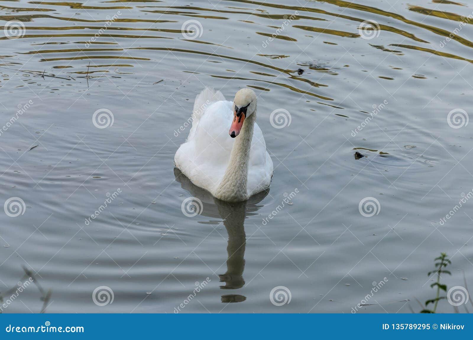 Ο άσπρος κύκνος κολυμπά στη λίμνη με τις μικρές χελώνες