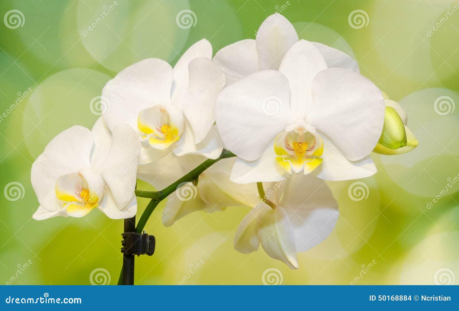 Ο άσπρος κλάδος ορχιδεών ανθίζει, Orchidaceae, Phalaenopsis γνωστό ως ορχιδέα σκώρων, βραχυνμένο Phal Πράσινο φως bokeh