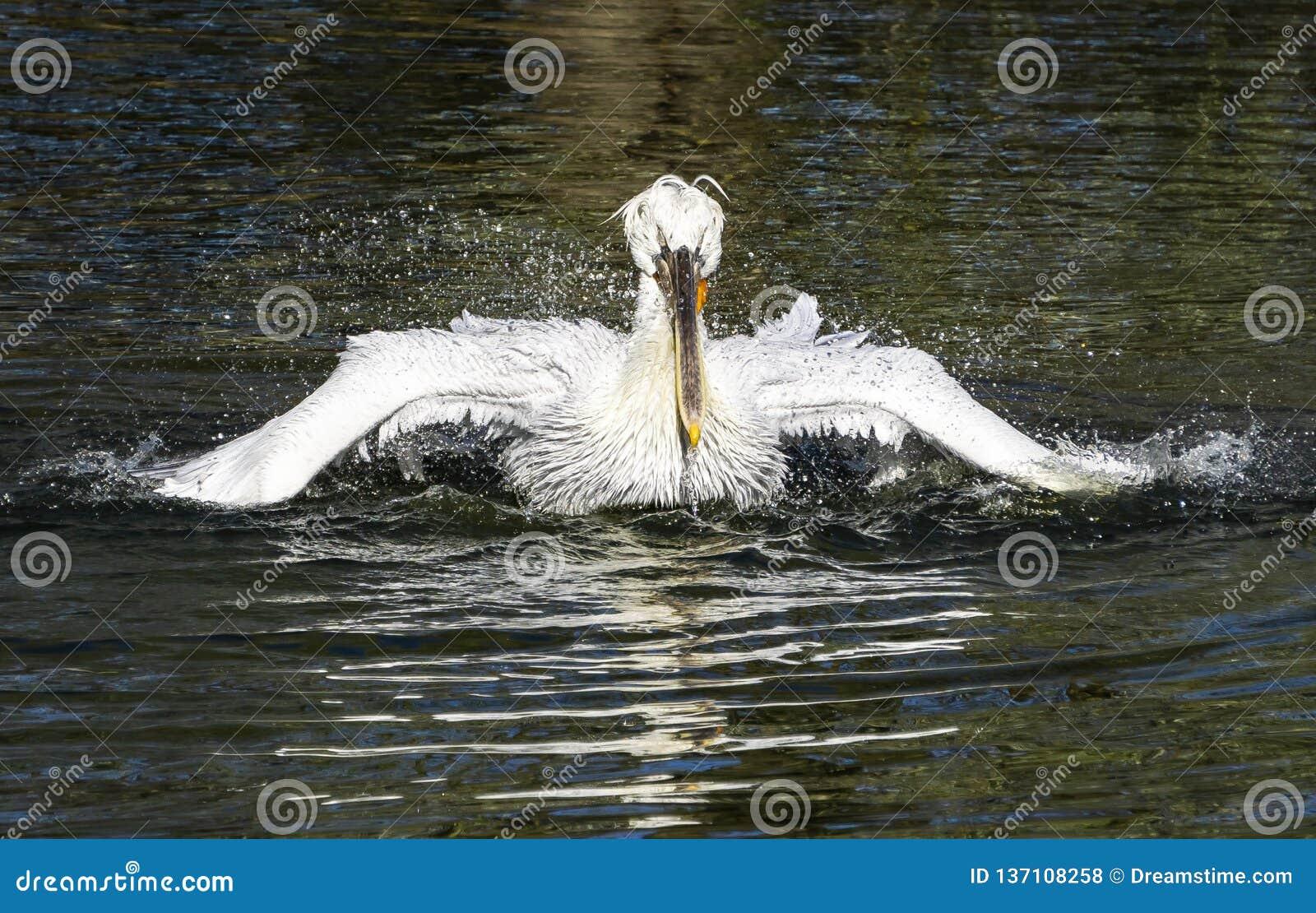 Ο άσπρος πελεκάνος καθαρίζει τα φτερά