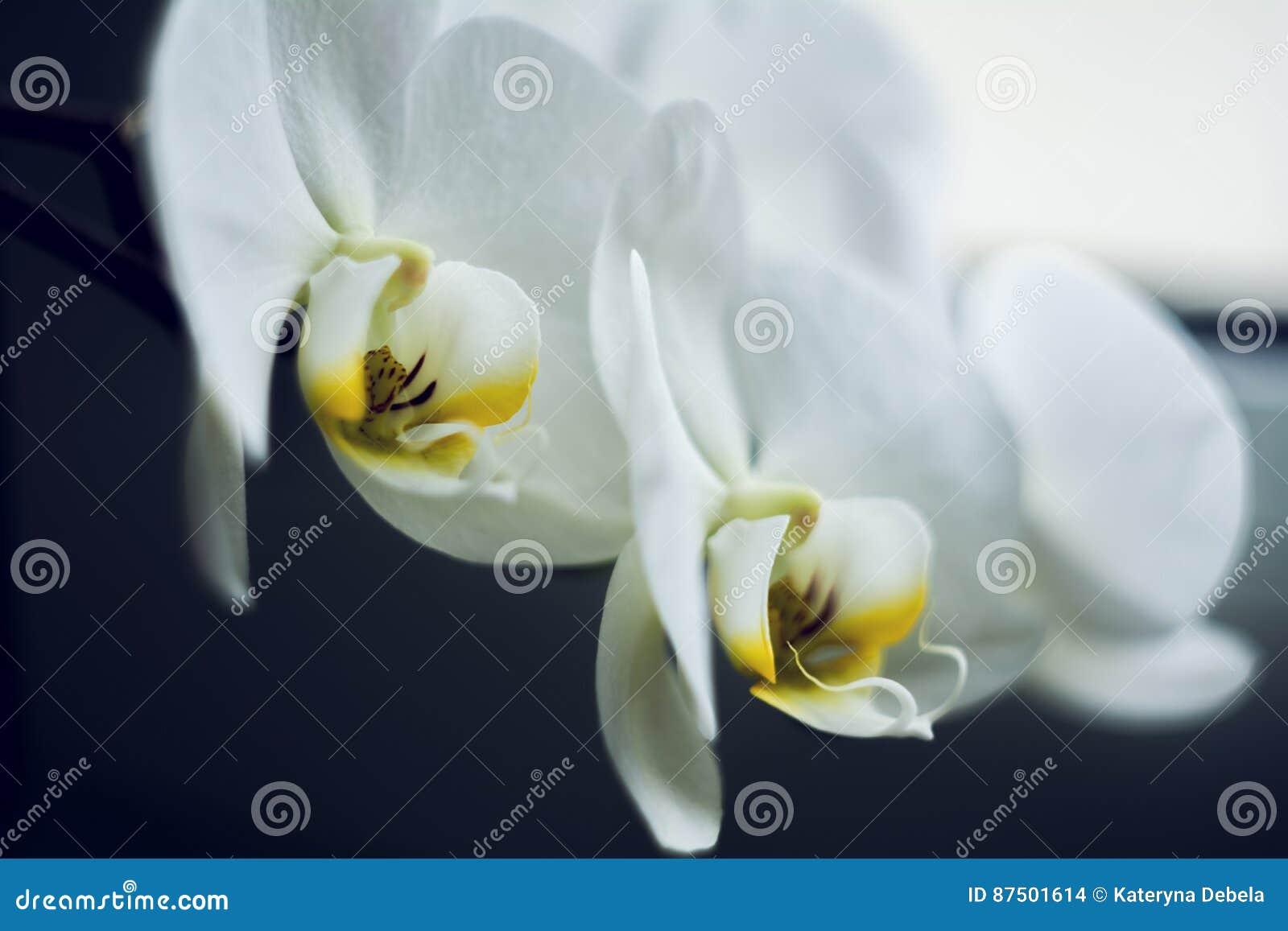 Ο ανθίζοντας κλάδος του όμορφου άσπρου λουλουδιού ορχιδεών με το κίτρινο κέντρο απομόνωσε τη μακροεντολή κινηματογραφήσεων σε πρώ