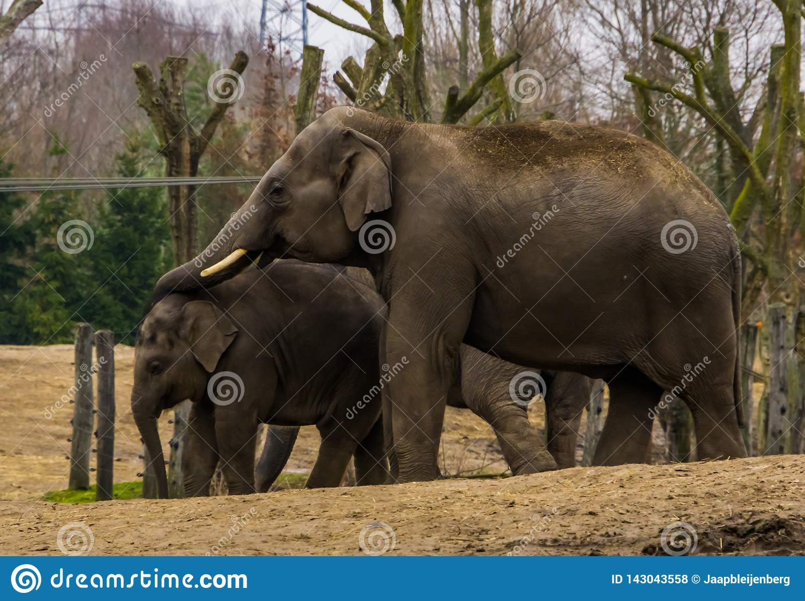 Ο αρσενικός ασιατικός ελέφαντας που βάζει τον κορμό του πέρα από το νέο ελέφαντά του, ζωικό οικογενειακό πορτρέτο ενός πατέρα και