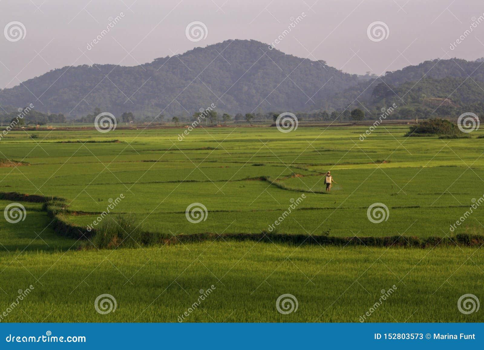 Ο ασιατικός εργαζόμενος χειρίζεται τους τομείς ρυζιού