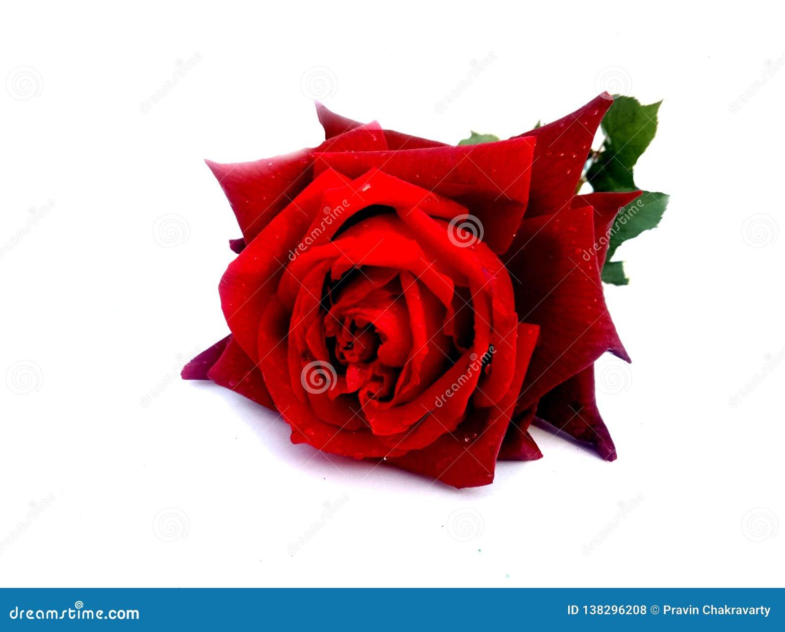 Ο βαλεντίνος κόκκινος αυξήθηκε, έννοια αγάπης βαλεντίνος ημέρας s