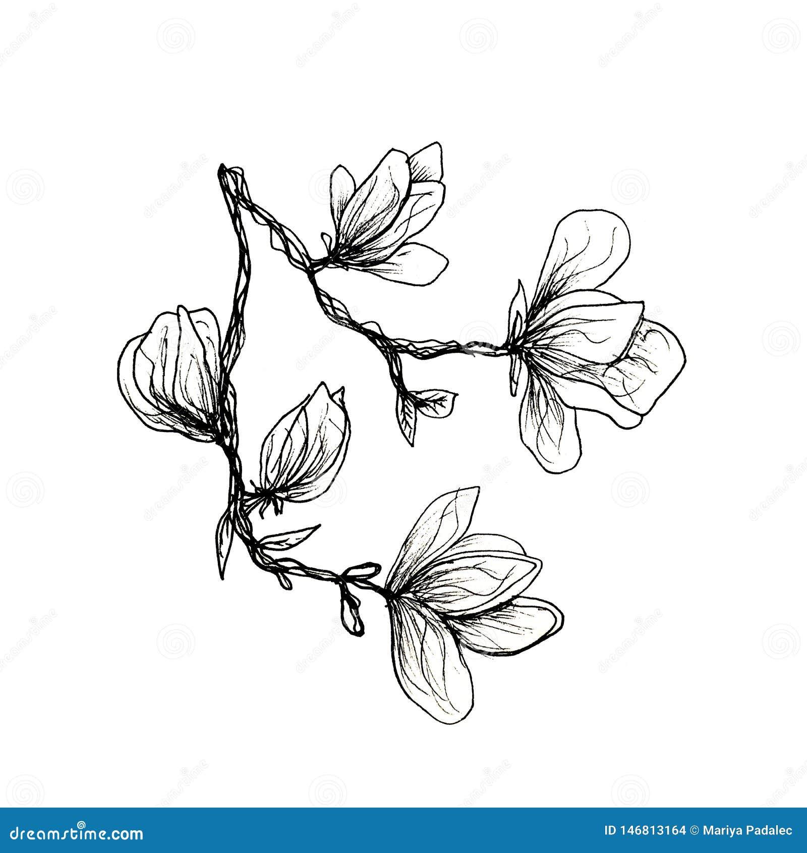 Ο γραφικός κλάδος του magnolia σύρεται με το χέρι με μια μαύρη μάνδρα Magnolia σε ένα απομονωμένο άσπρο υπόβαθρο