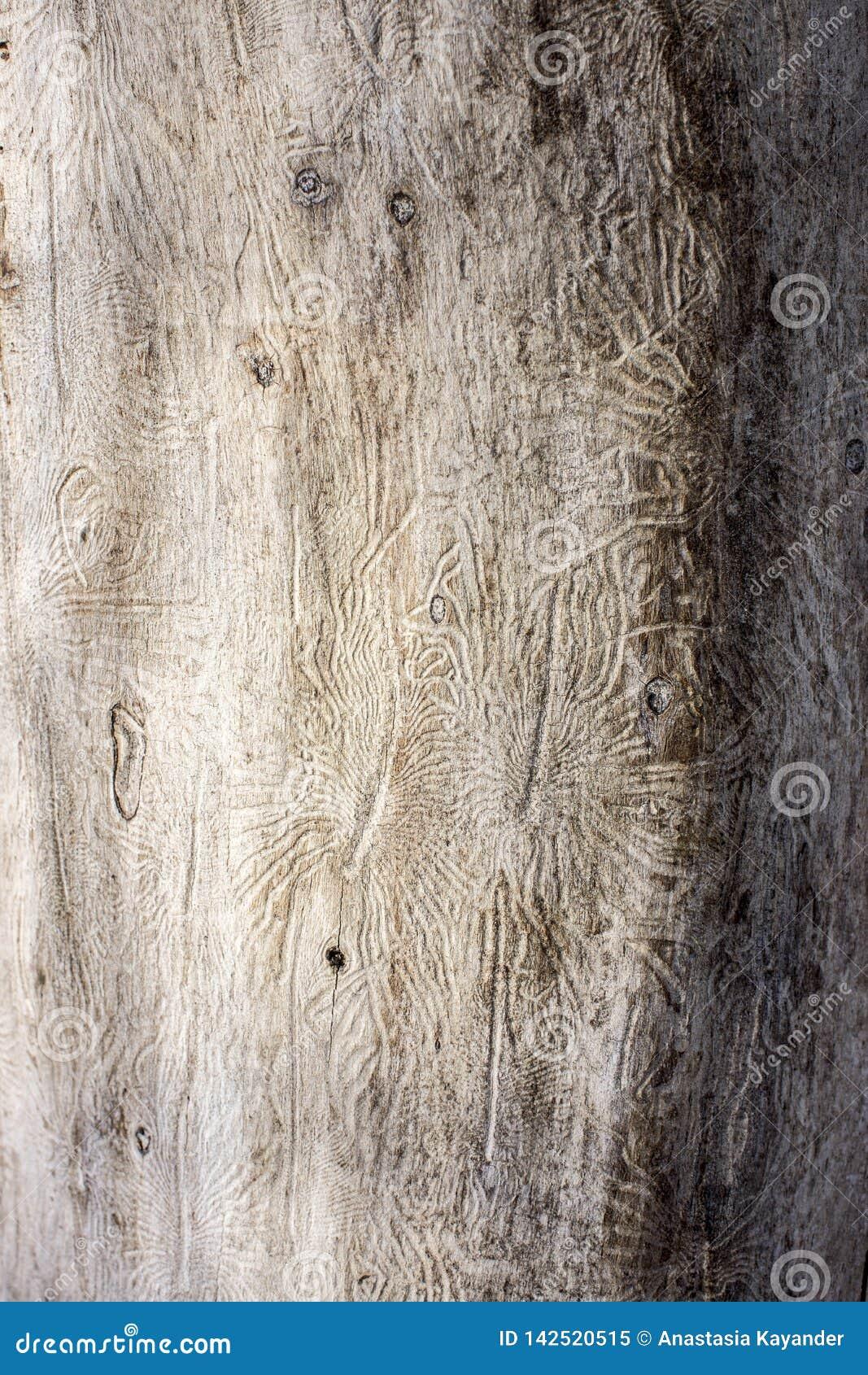 Ο ευρωπαϊκός κομψός κάνθαρος φλοιών Ίχνη ενός παρασίτου σε έναν φλοιό δέντρων