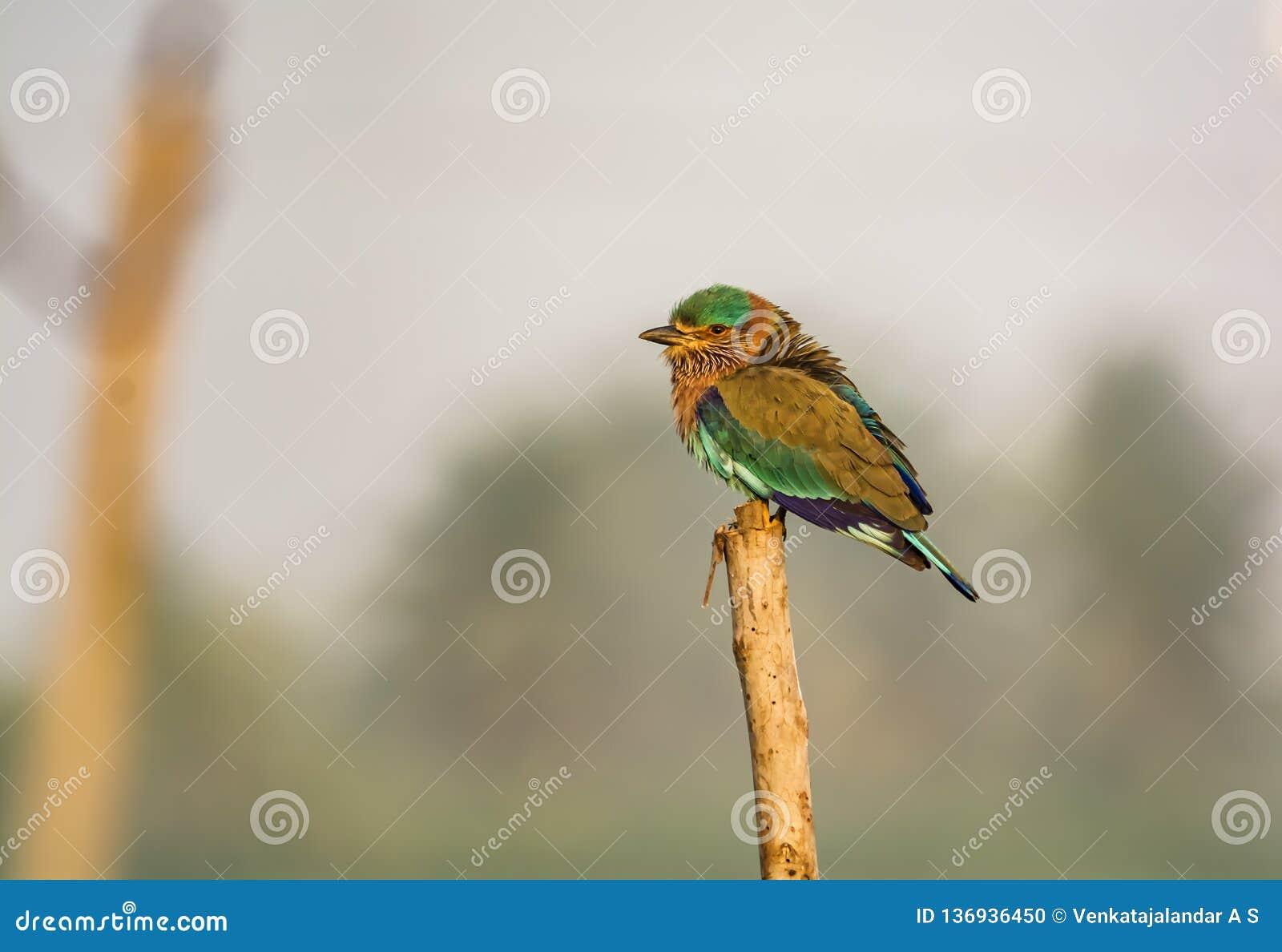 Ο ινδικός κύλινδρος - δηλώστε το πουλί Karnataka, Ινδία