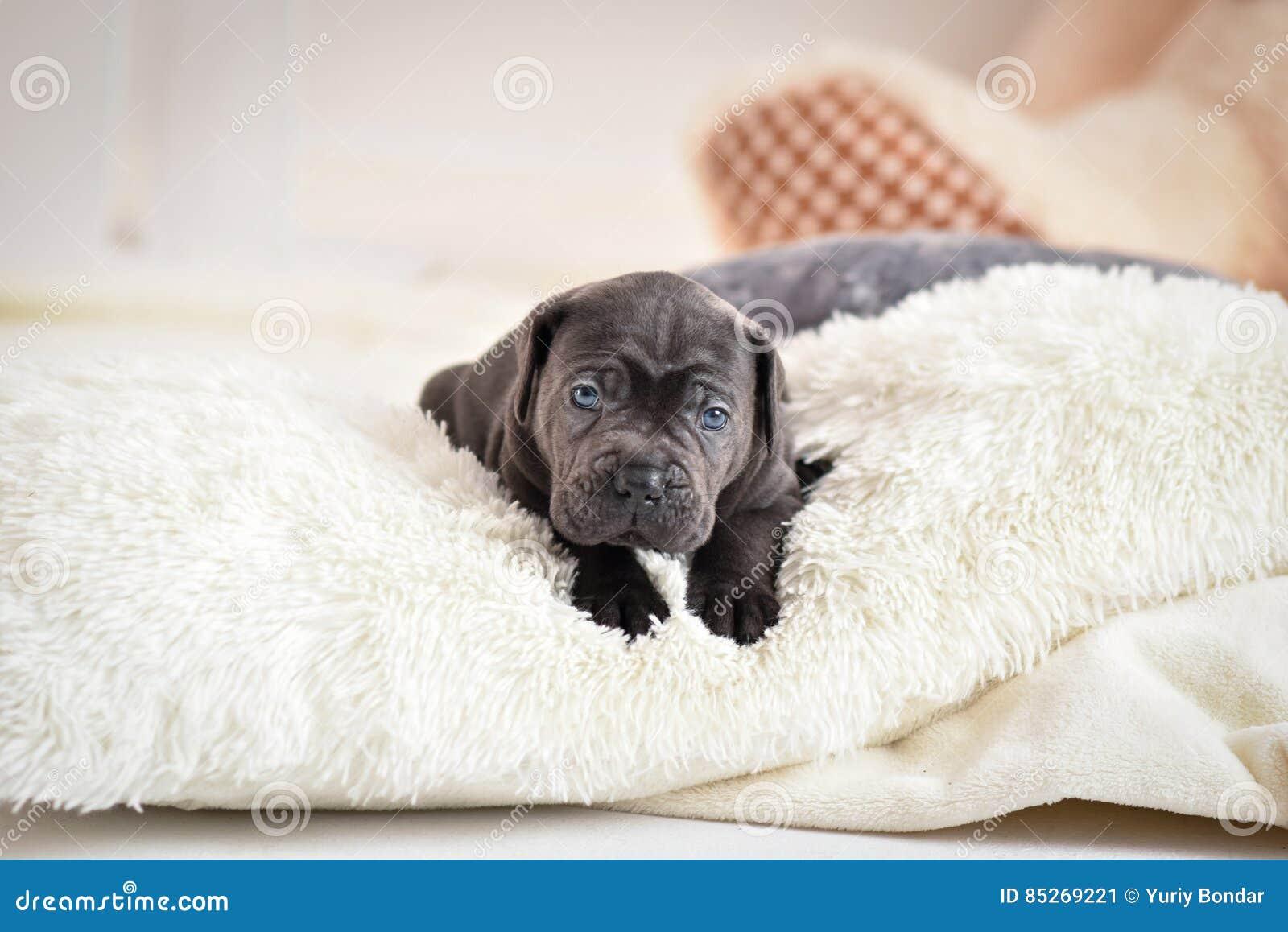 Ο κάλαμος Corso κουταβιών βρίσκεται σε ένα κρεβάτι