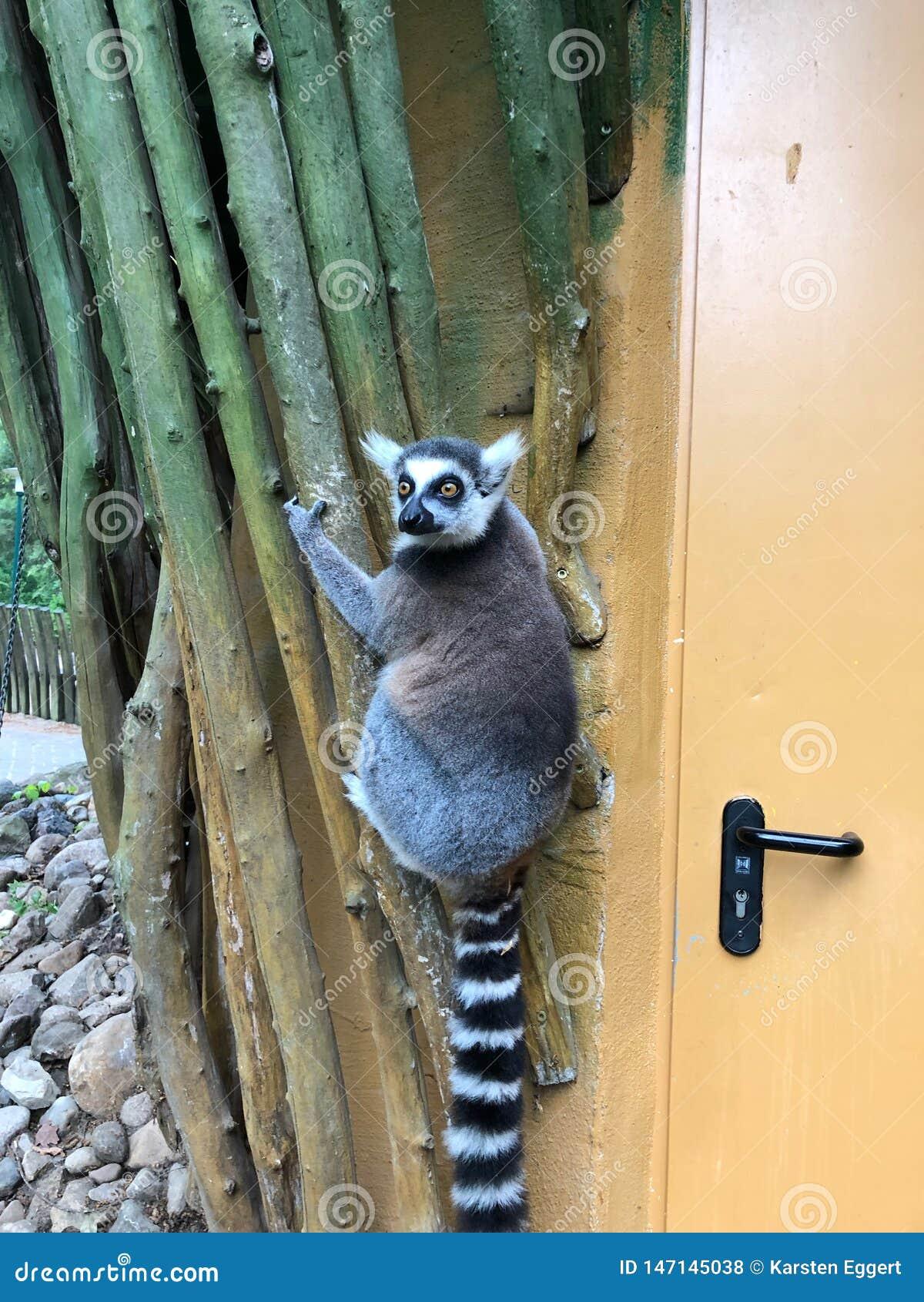 Ο κερκοπίθηκος κρεμά στον εξωτερικό τοίχο ενός κτηρίου ζωολογικών κήπων και κοιτάζει γύρω