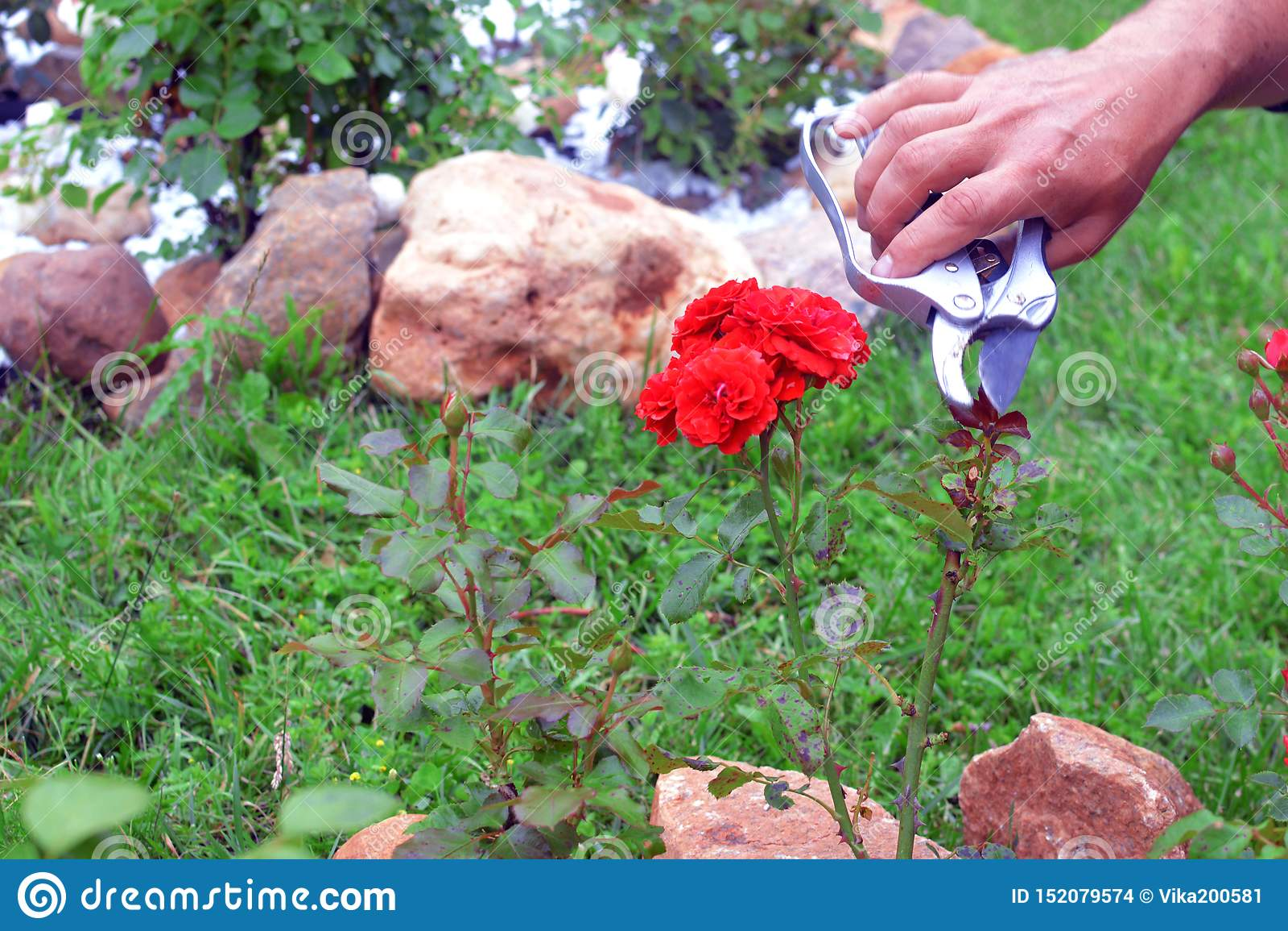 Ο κηπουρός φροντίζει τους ροδαλούς θάμνους σε έναν κήπο