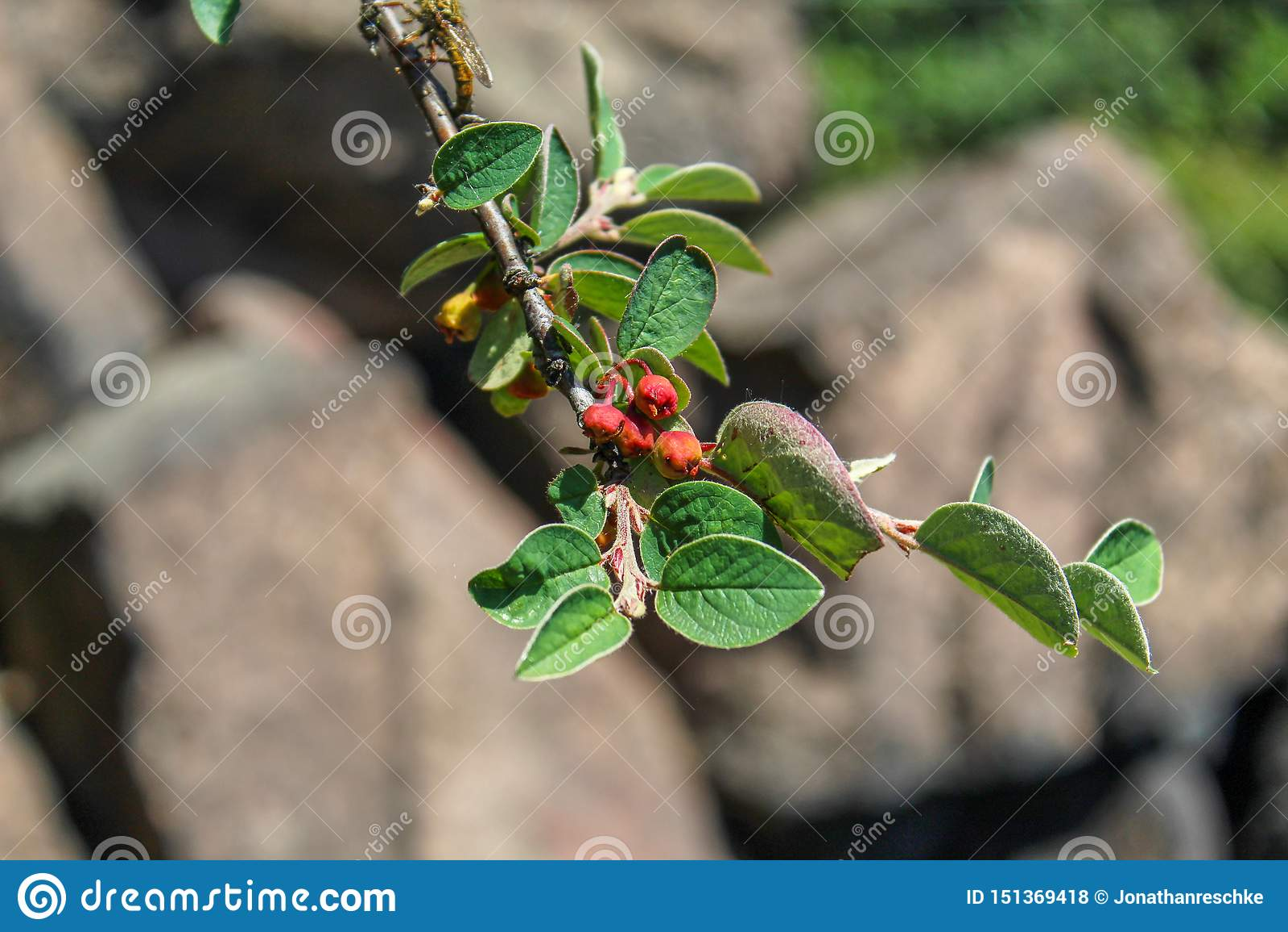 """Ο κλάδος με το λουλούδι βλαστάνει το integerrimus Cotoneaster, """"κοινό cotoneaster """", """"Gewöhnliche Zwergmispel """", """"Cotonéaster com"""