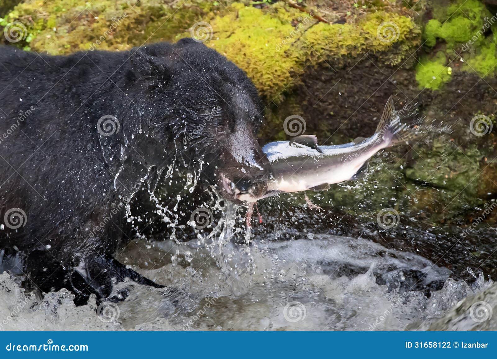 Ο Μαύρος αντέχει έναν σολομό σε έναν ποταμό με τον παφλασμό και το γρήγορο φαγητό της Αλάσκας αίματος