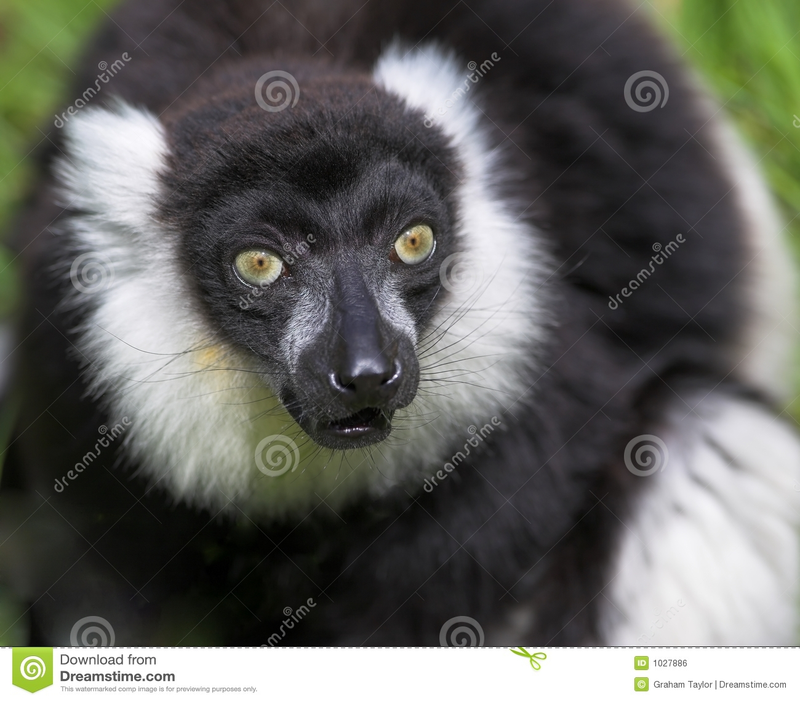 ο μαύρος κερκοπίθηκος τ&