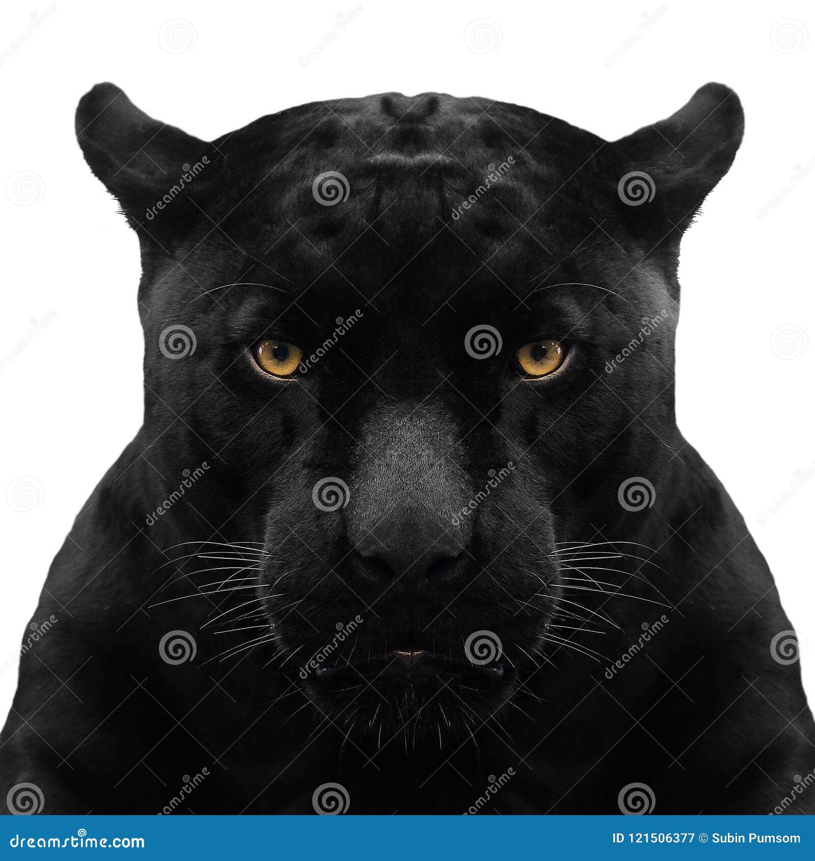 Ο μαύρος πάνθηρας αυξήθηκε κοντά
