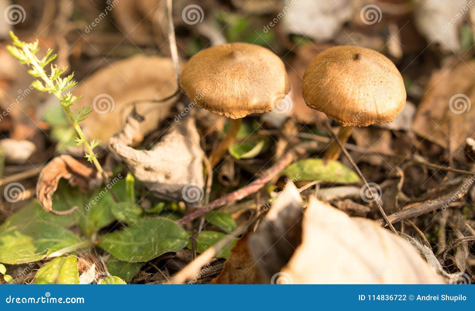 Ο μη φαγώσιμος μύκητας αυξάνεται στα ξύλα υπαίθρια
