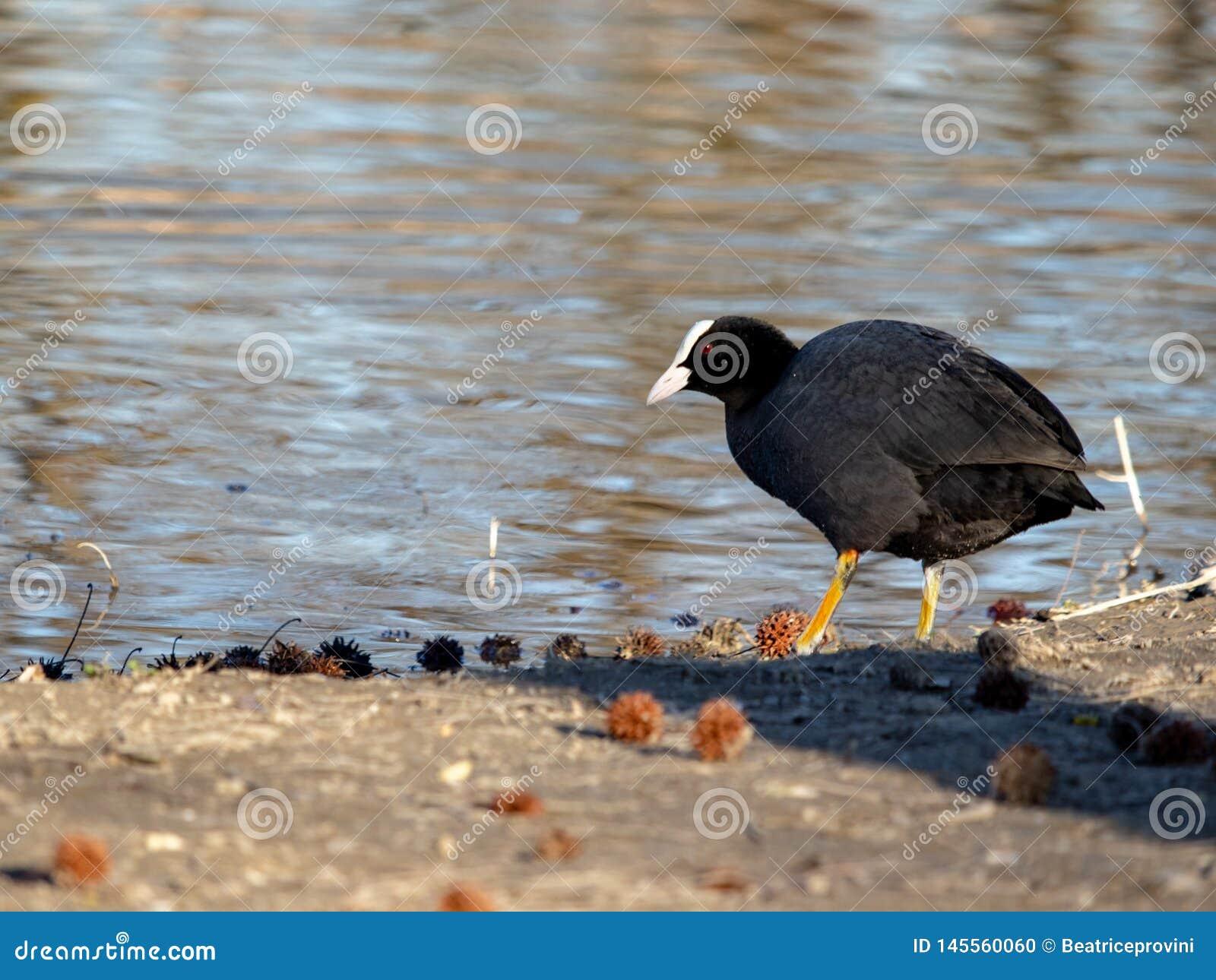 Ο μικρός ευρασιατικός Μαύρος φαλαρίδων με τα κόκκινα μάτια στον ποταμό