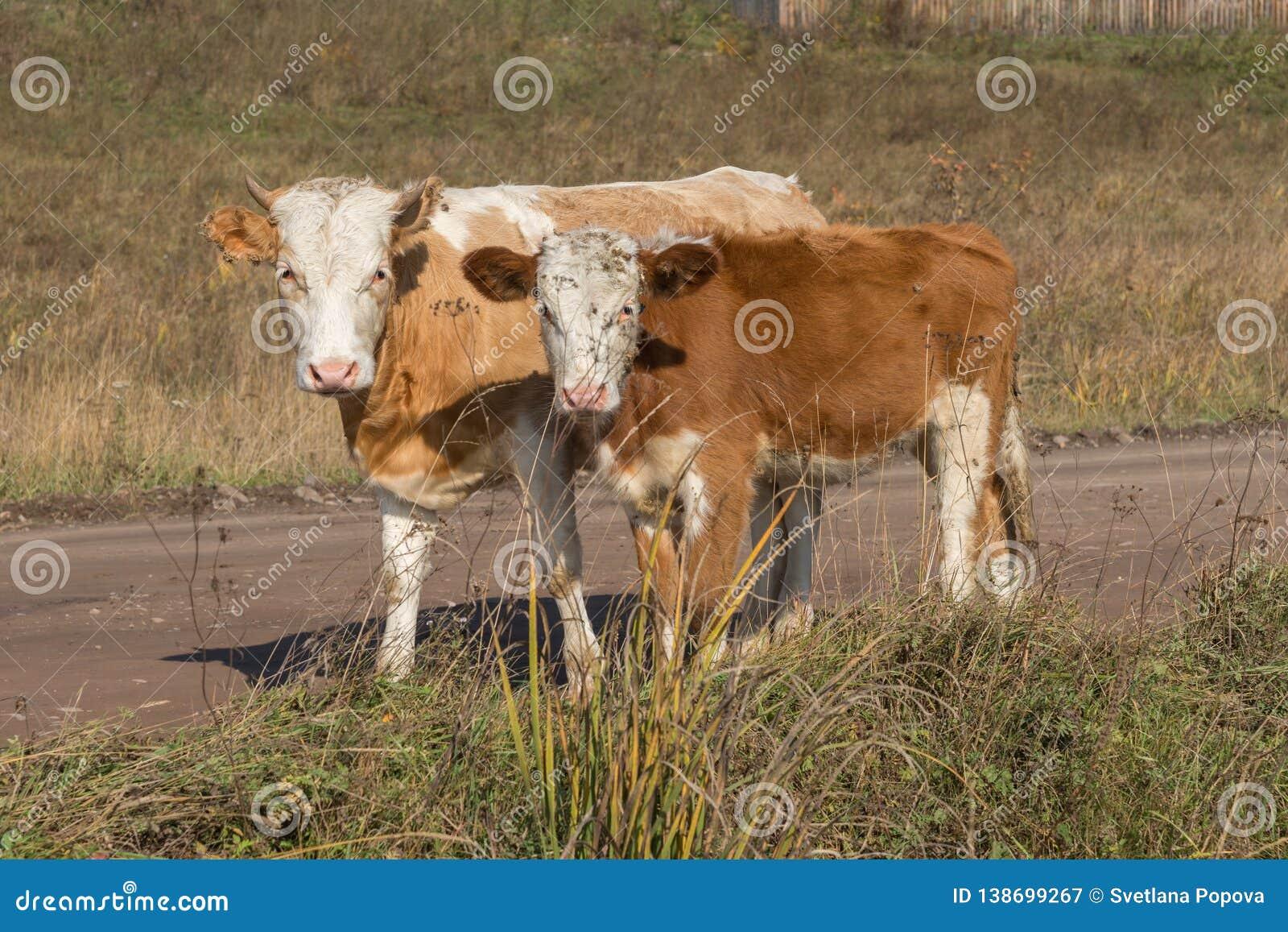 Ο νέοι ταύρος και ο μόσχος στέκονται στο δρόμο στα πλαίσια της χλόης το φθινόπωρο