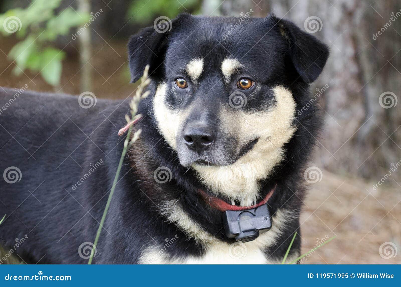 Ο ποιμένας Aussie Kelpie ανάμιξε το σκυλί φυλής έξω στο κόκκινο λουρί με το περιλαίμιο κλονισμού
