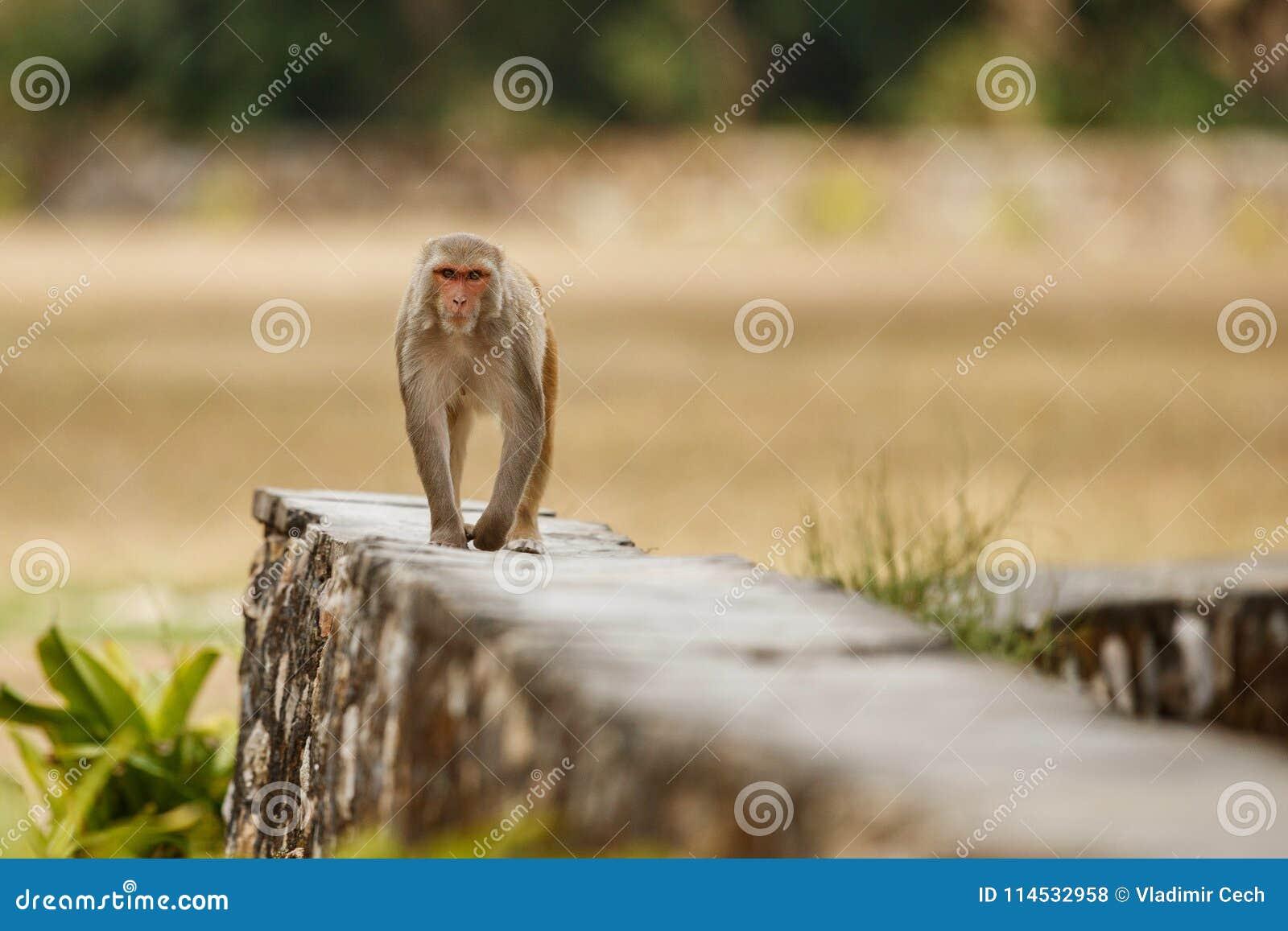 Ο ρήσος μακάκος Macaque στον τοίχο με το όμορφο μουτζουρωμένο υπόβαθρο