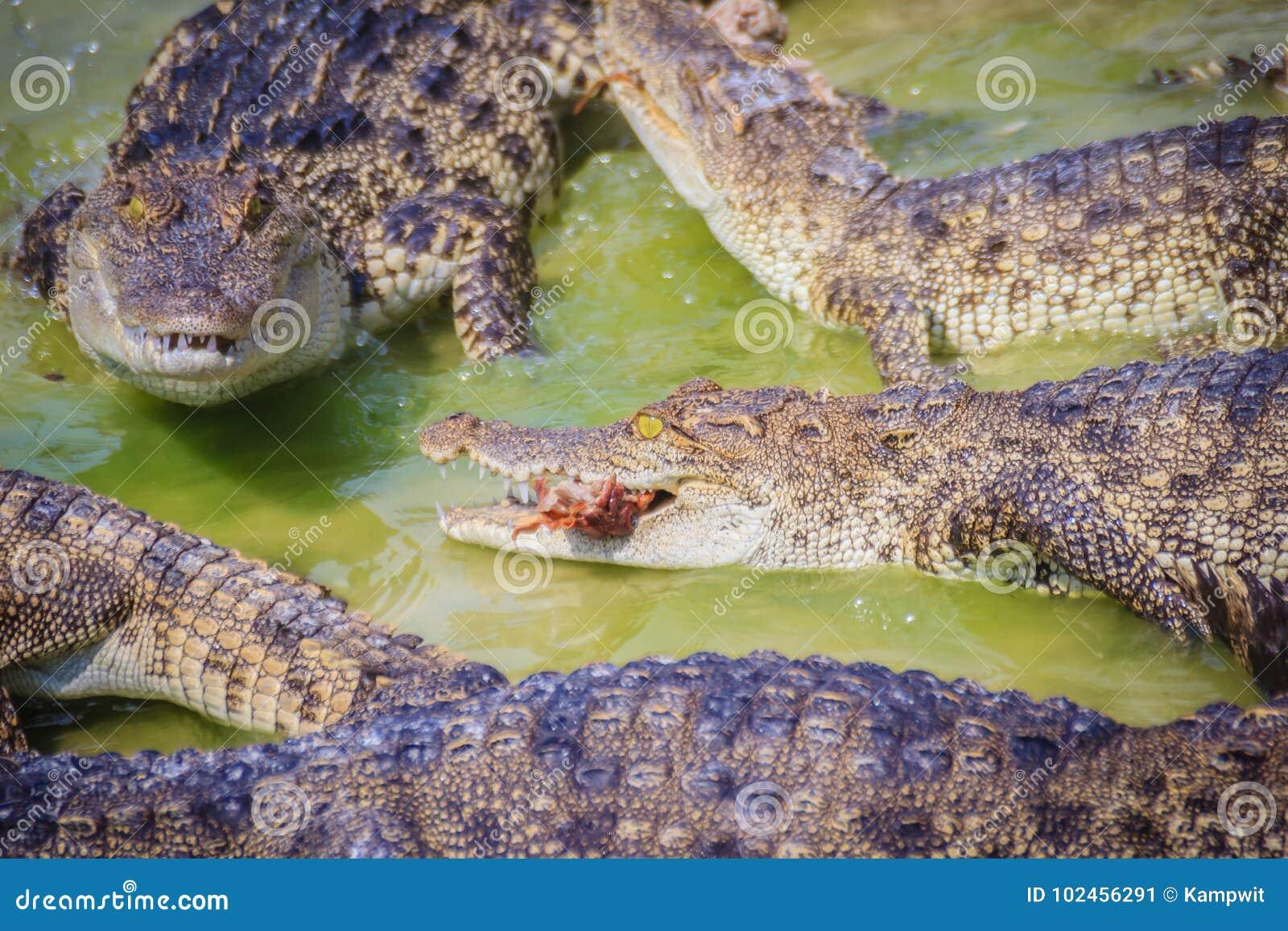 715afe04d7c2 Ο τρομακτικός κροκόδειλος τρώει το φρέσκο κρέας στο αγρόκτημα επίσης μπορεί  τοποθετημένο αγρόκτημα pattaya κροκοδείλων κροκοδείλω
