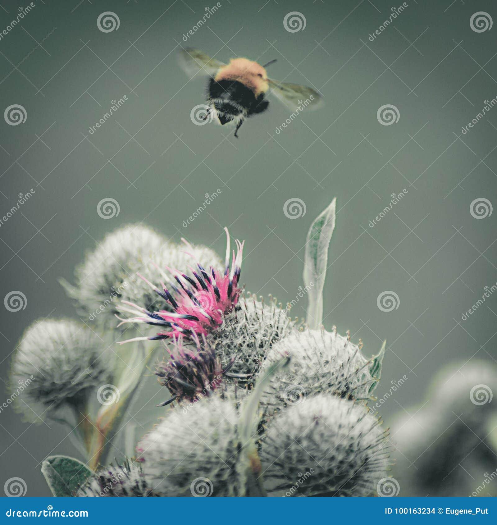 Ο τρύγος εξασθένισε την εικόνα κινηματογραφήσεων σε πρώτο πλάνο bumblebee που πετά μακρυά από το πορφυρό μεγάλο λουλούδι κάρδων σ
