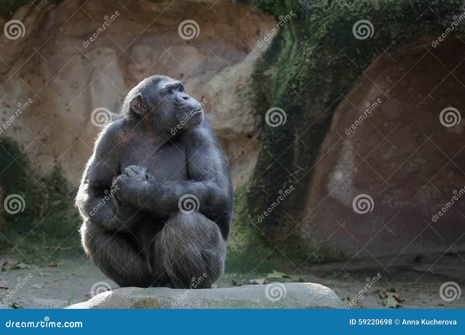 Ο χιμπατζής με υπερήφανος και σημαντικός κοιτάζει