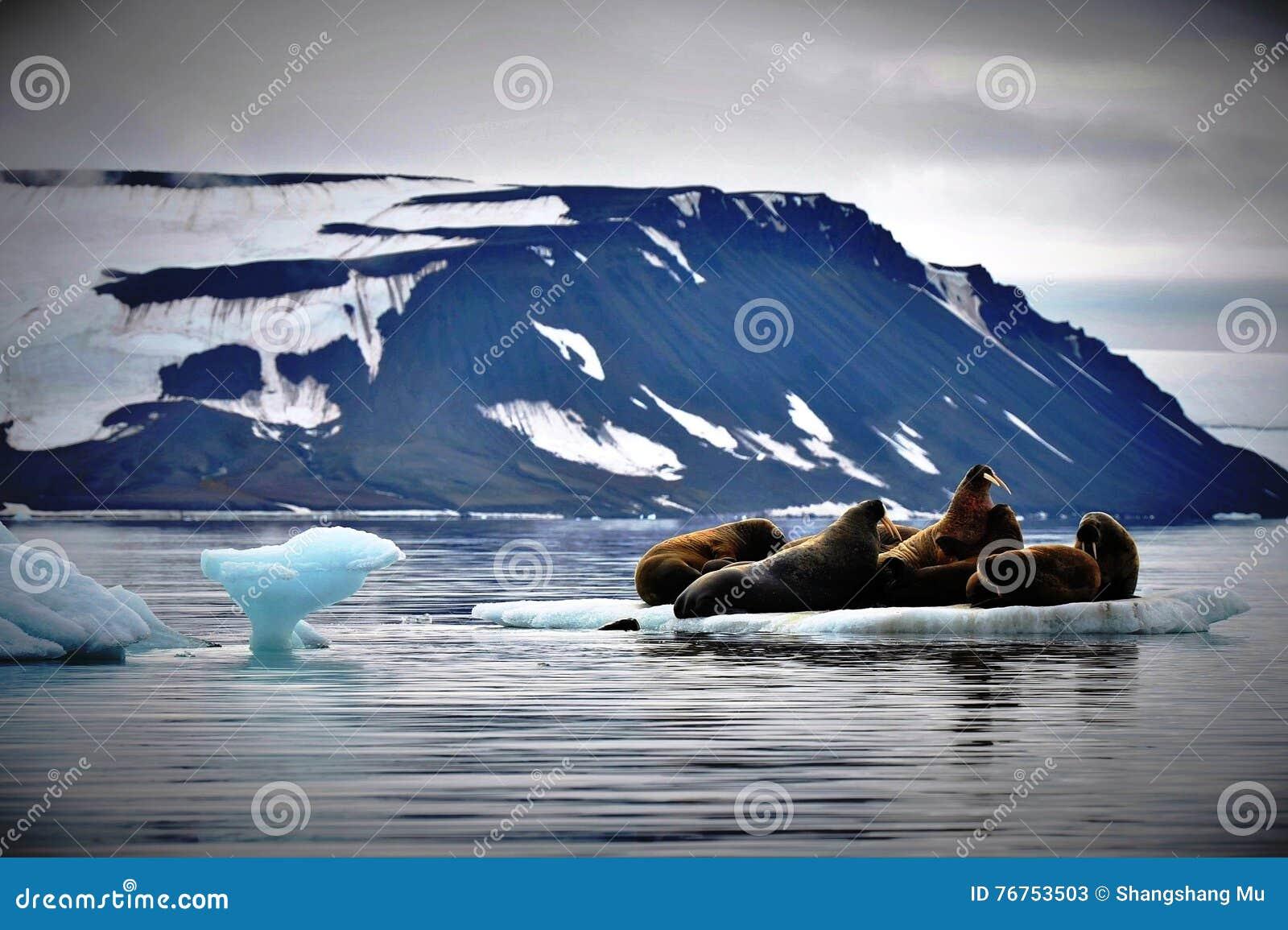 Οδόβαινοι στον πάγο