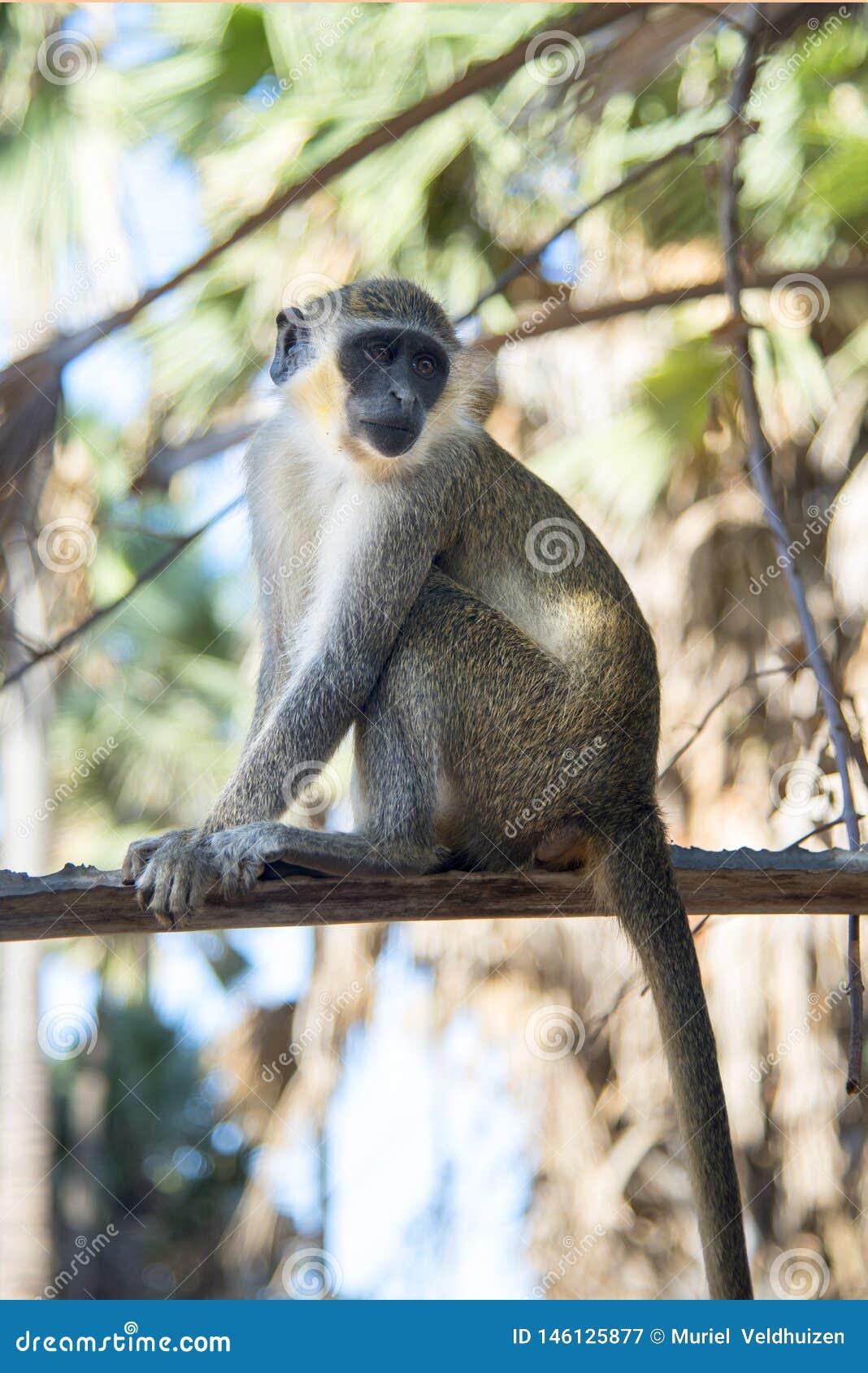 Ο όμορφος πίθηκος κάθεται στην επιφυλακή σε ένα δέντρο σε ένα χωριό στη Γκάμπια